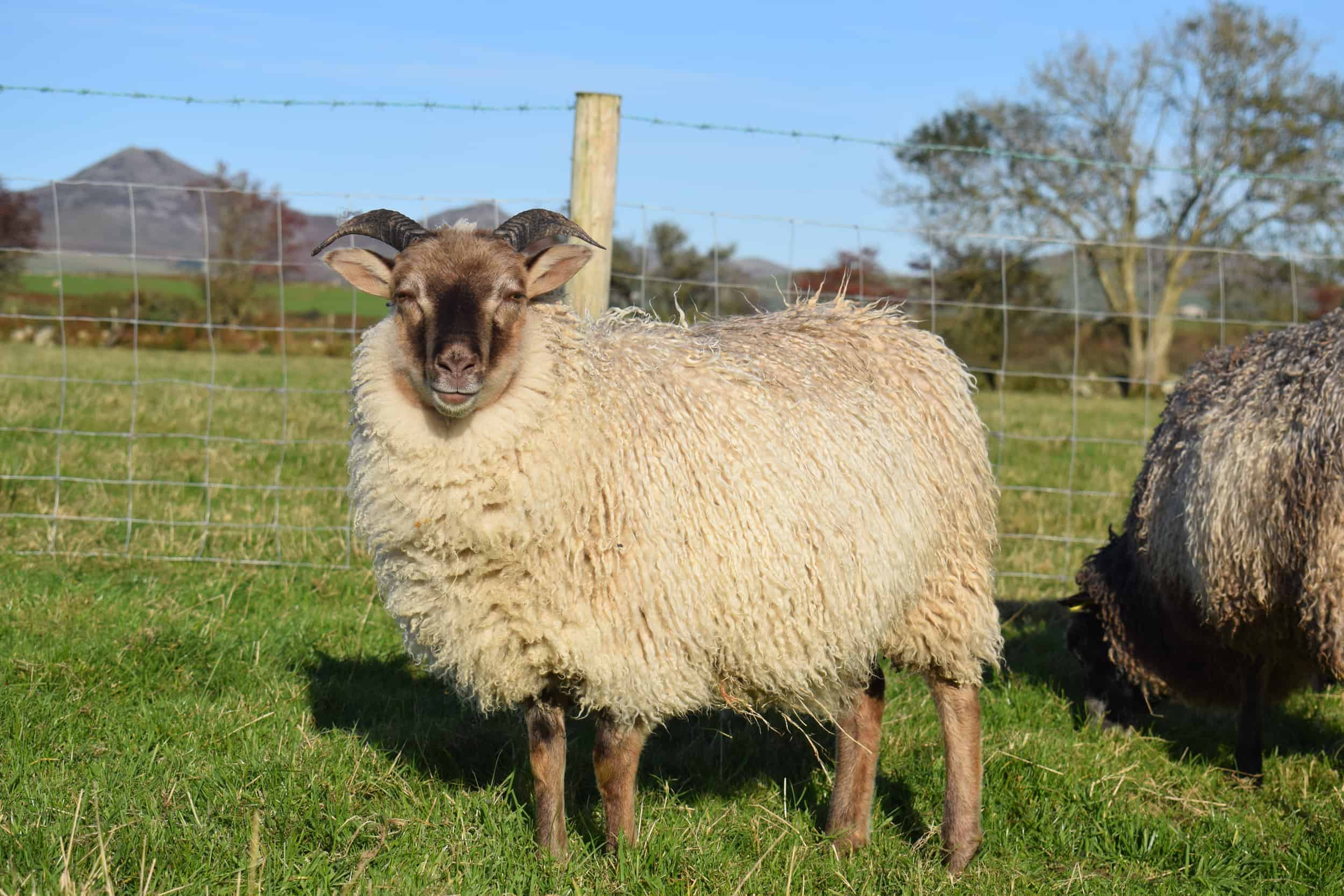 Sorrel patchwork sheep icelandic soay sheep rosted mouflon 5