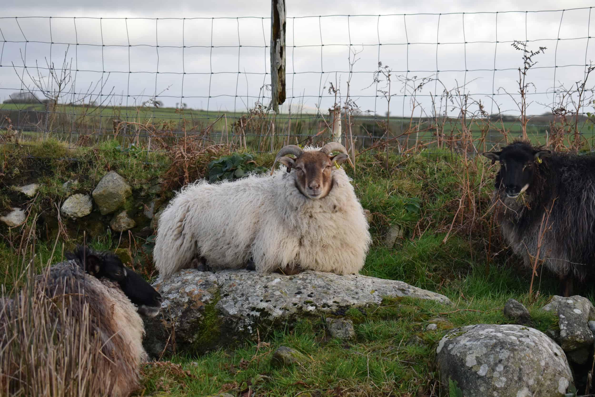 frosted moorit mouflon
