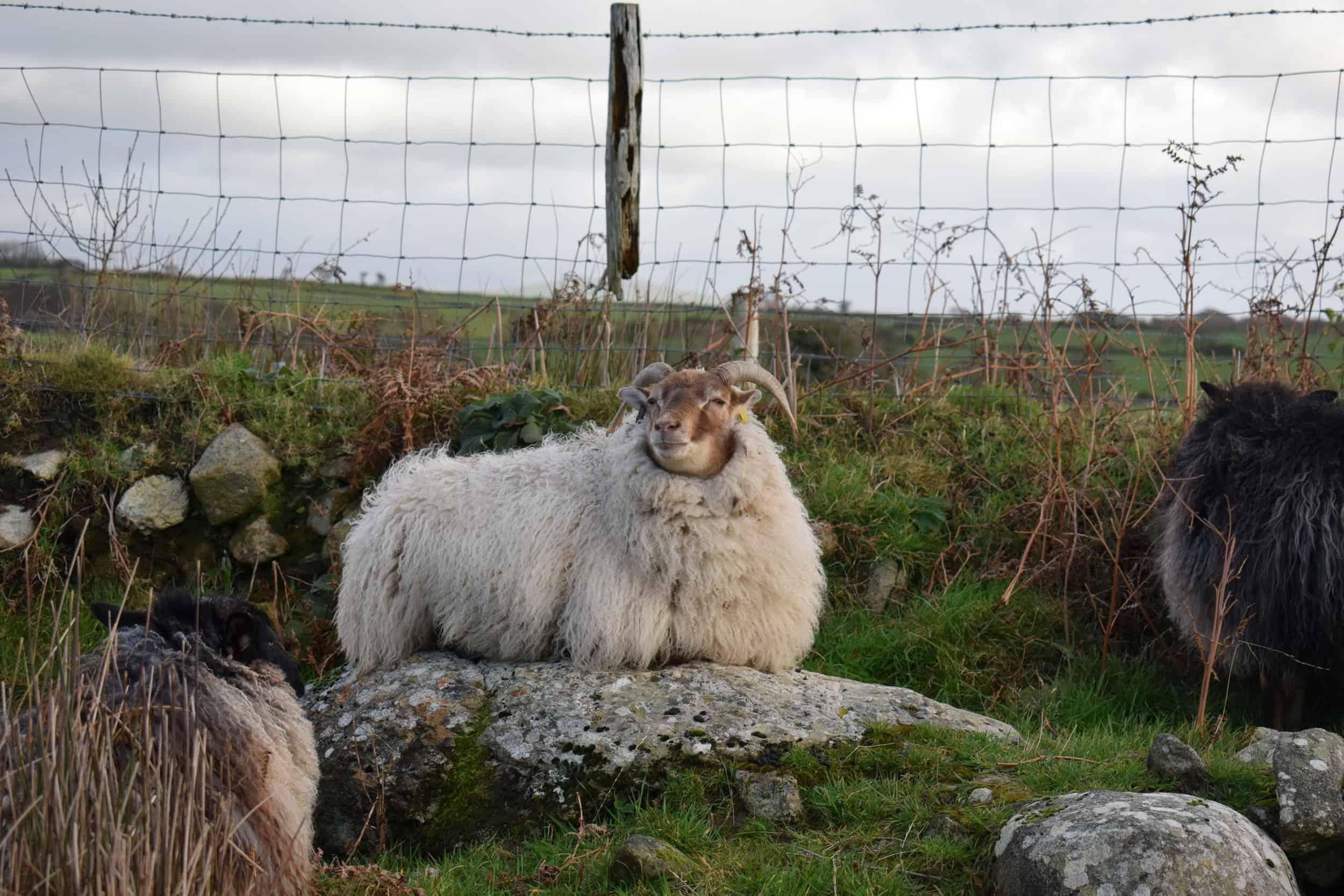grey moorit mouflon frosted