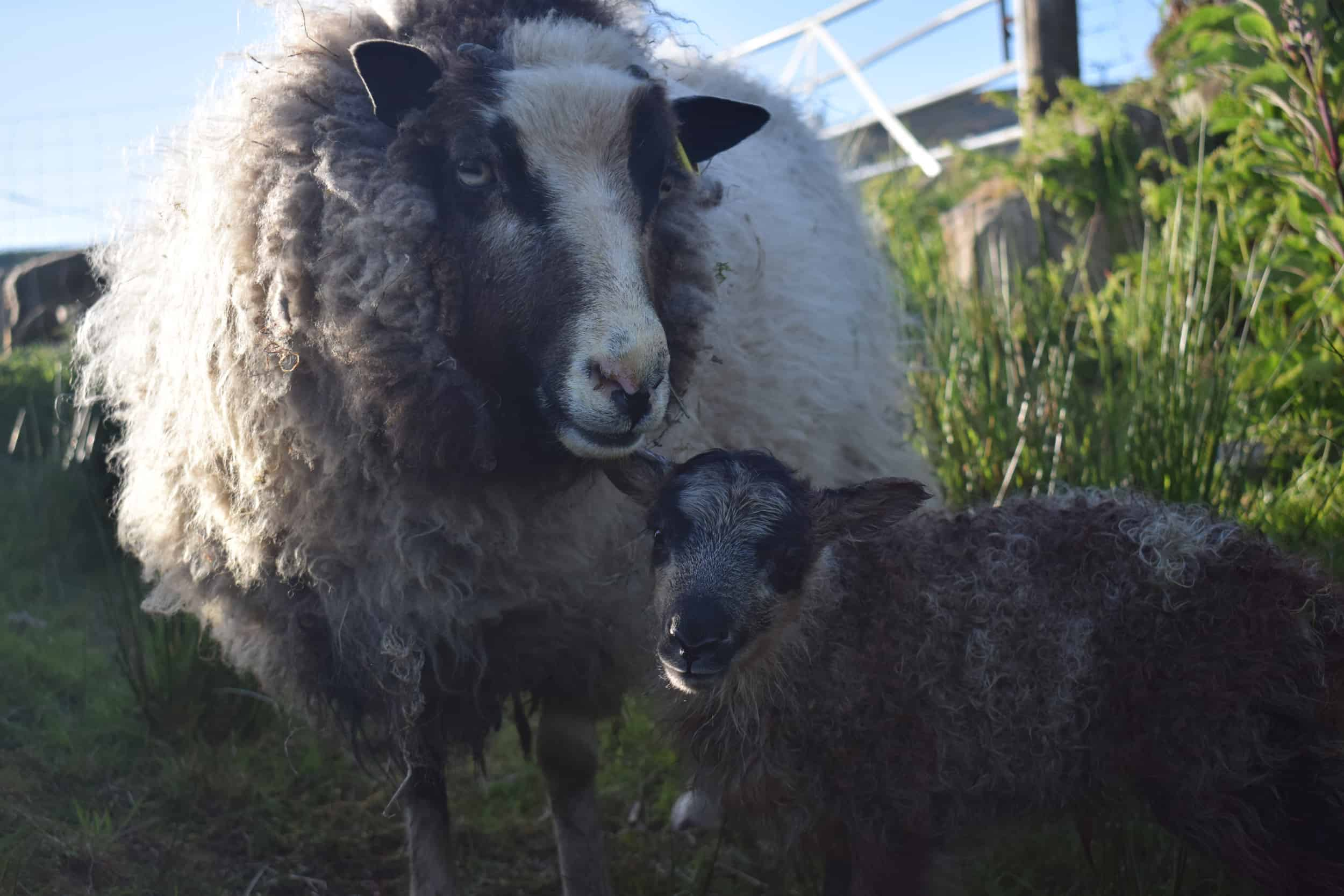 Waffle maple outdoor lambing primitive sheeppatchwork sheep lamb shetland sheep soay sheep