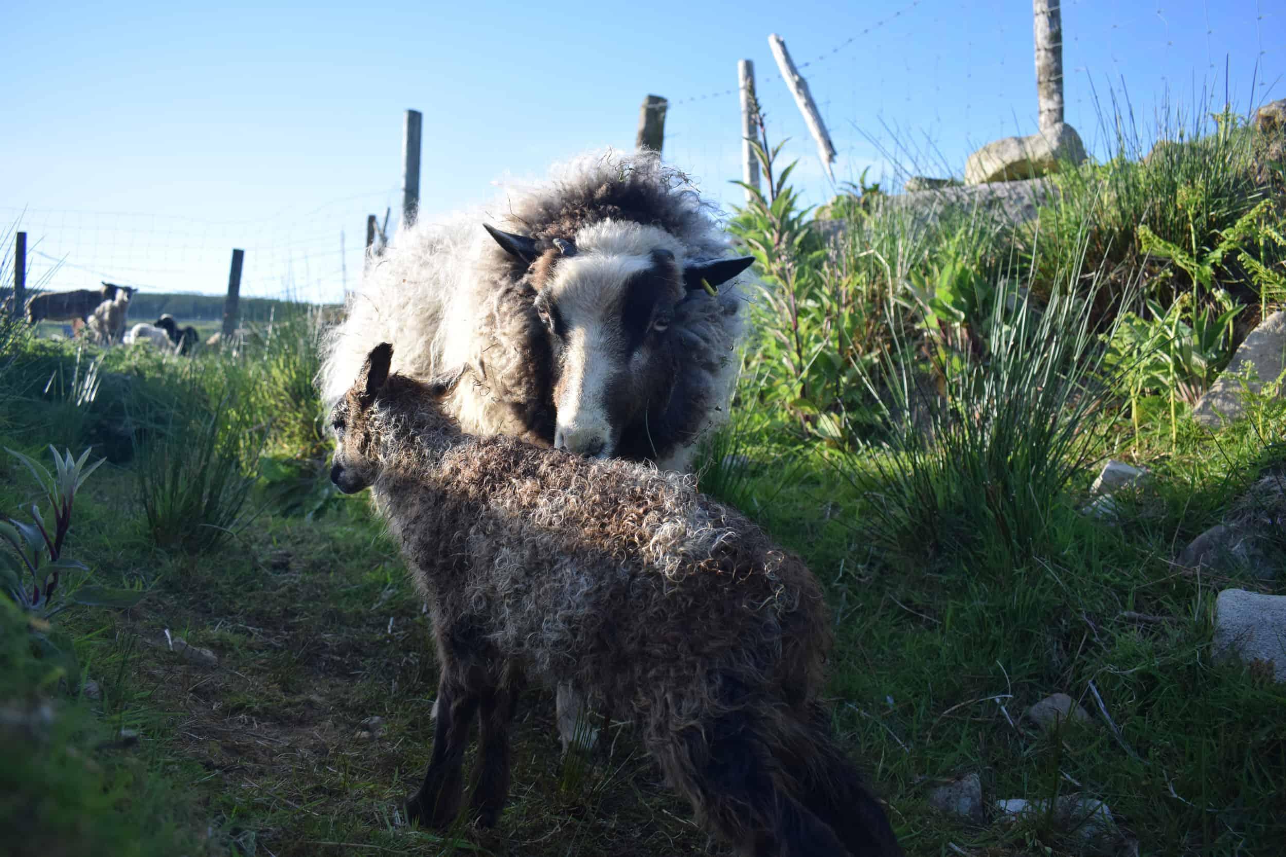 Waffle maple outdoor lambing newborn patchwork sheep lamb shetland sheep soay sheep