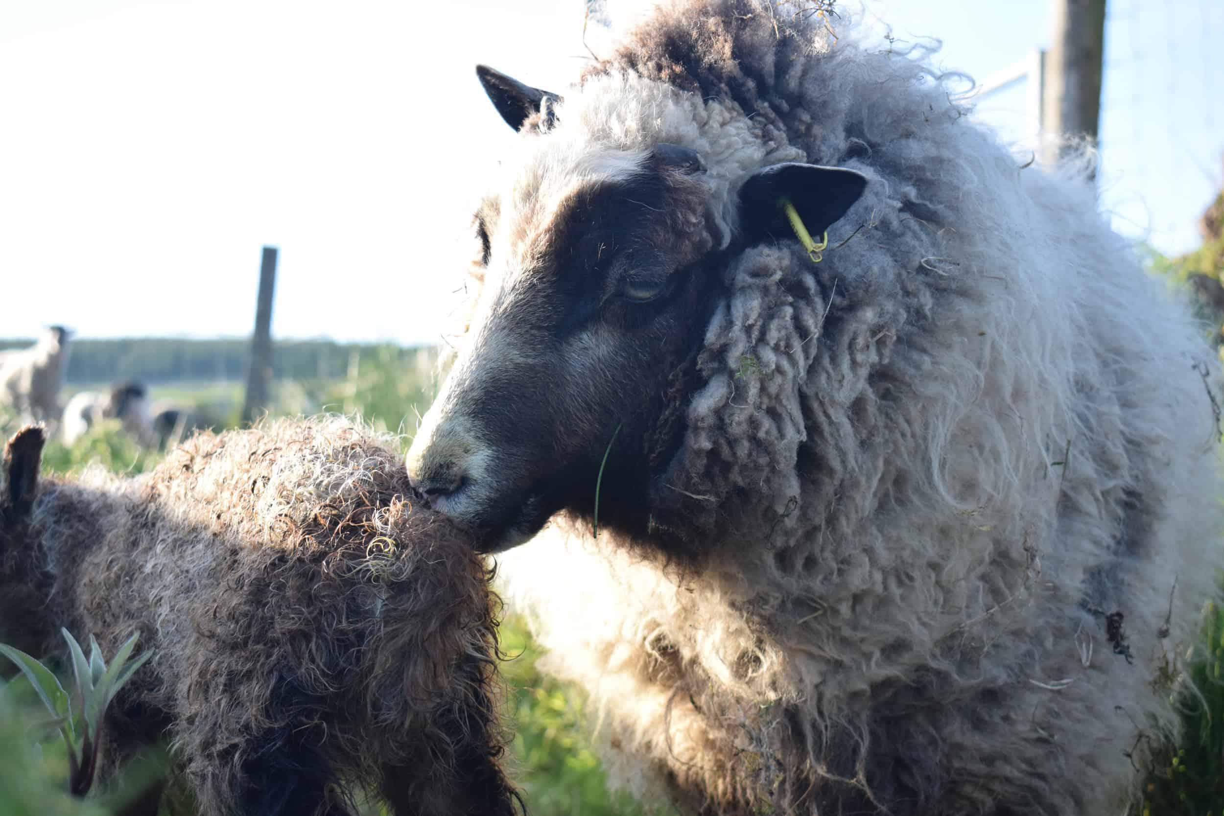 Waffle maple lambing patchwork sheep lamb shetland sheep soay sheep