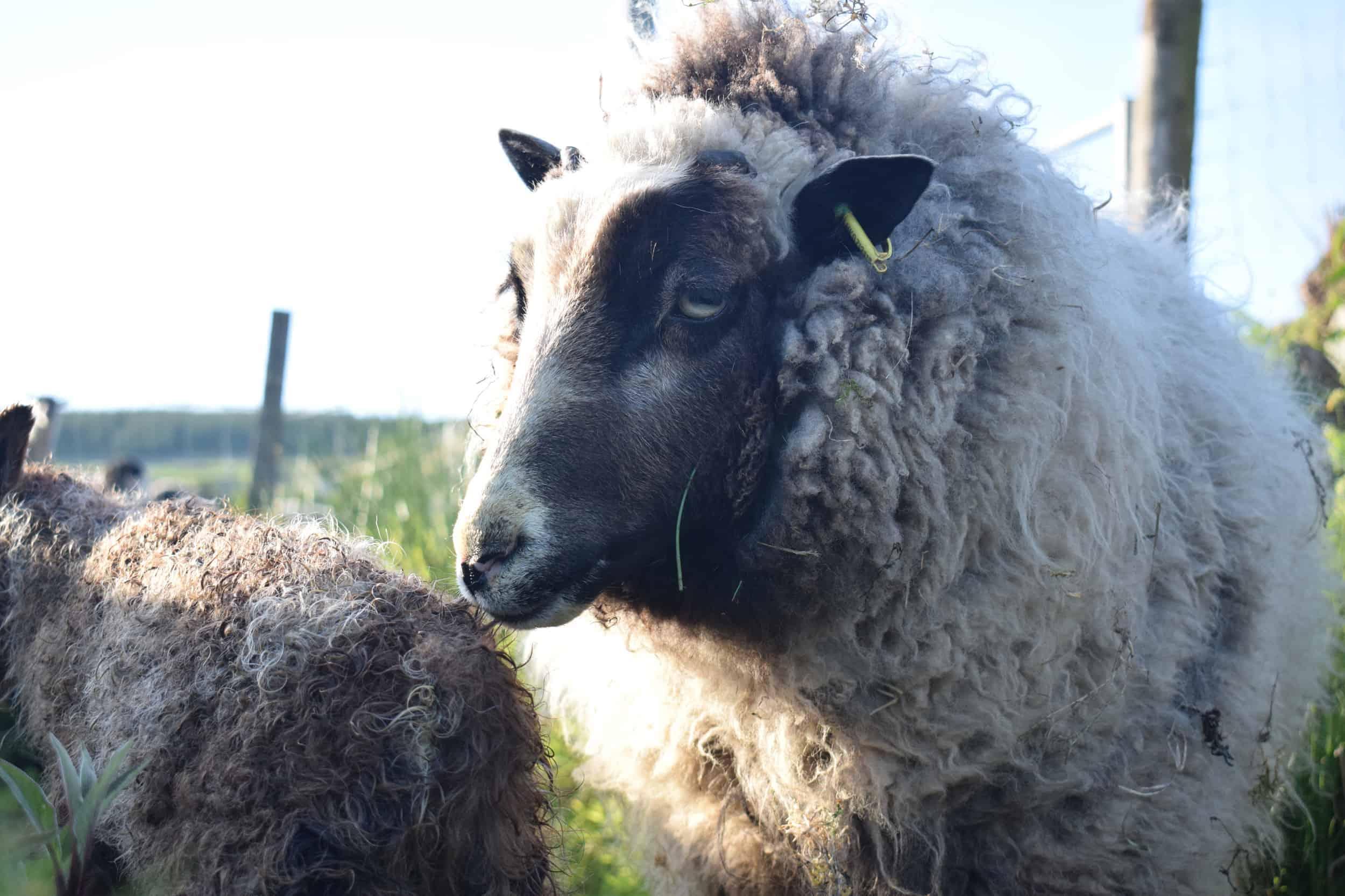 Waffle maple newborn patchwork sheep lamb shetland sheep soay sheep