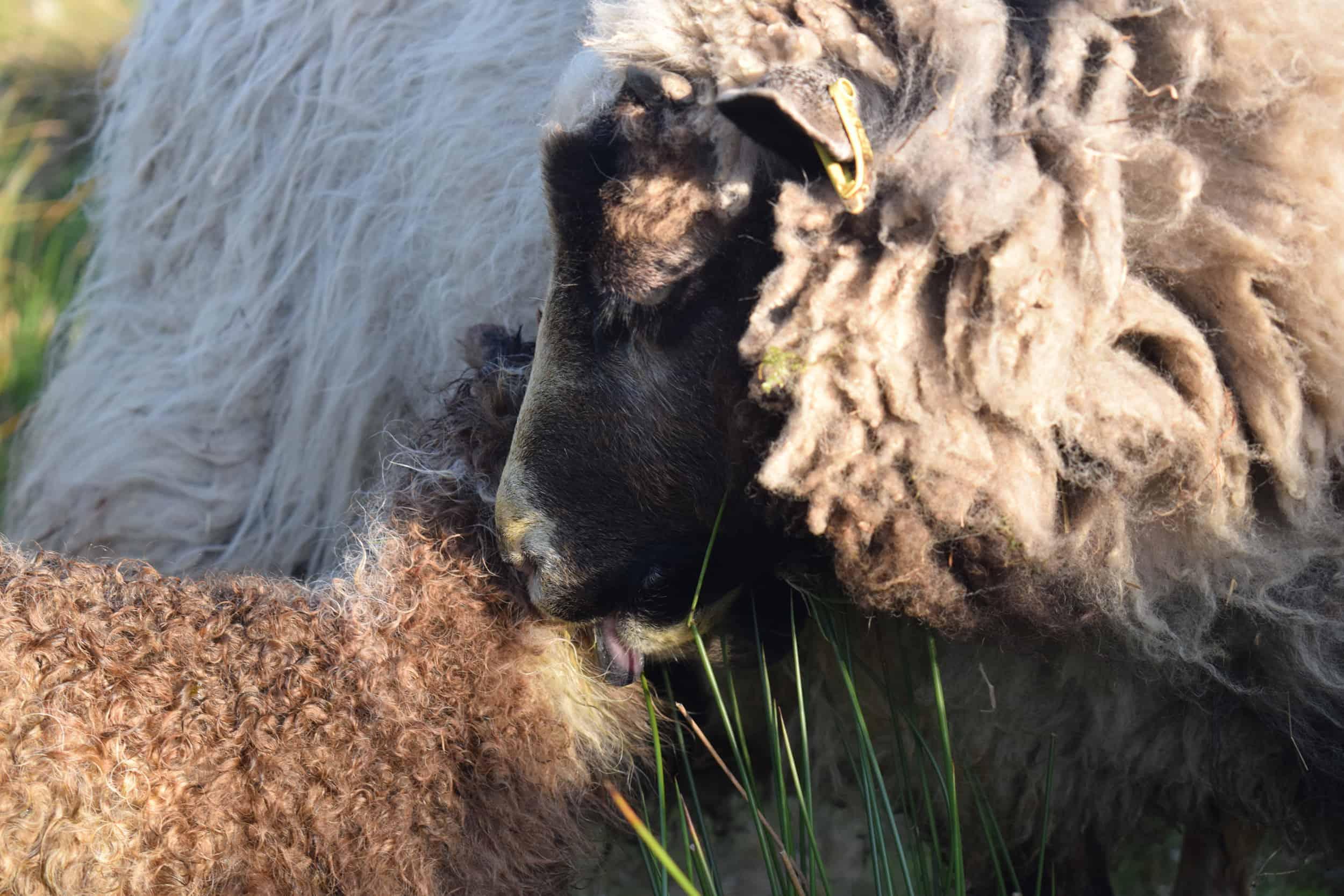 Waffle maple patchwork sheep lamb shetland sheep soay sheep