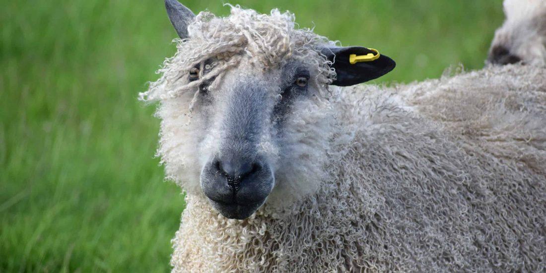 hagrid patchwork sheep