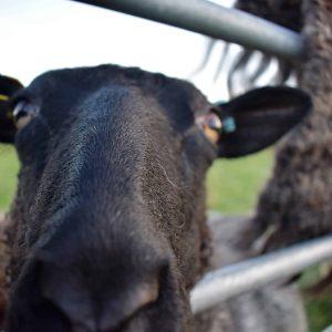 frieda gotland sheep
