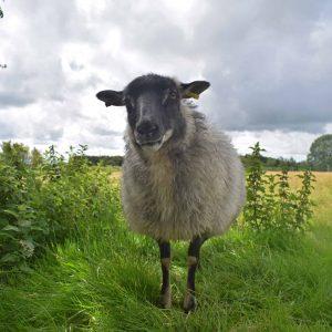 dash grey mouflon