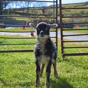 grey mouflon icelandic lamb