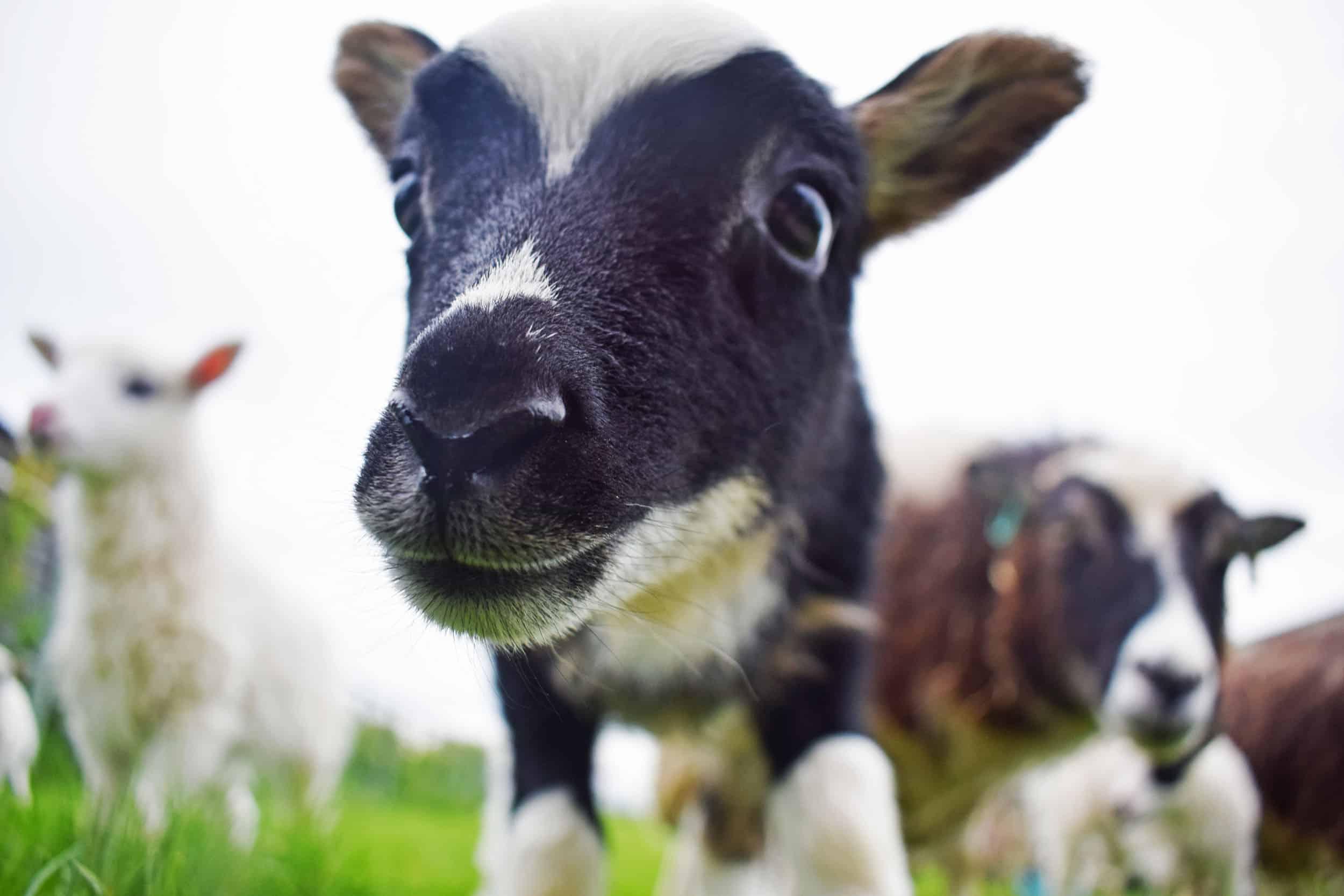 Cute lamb Lupin