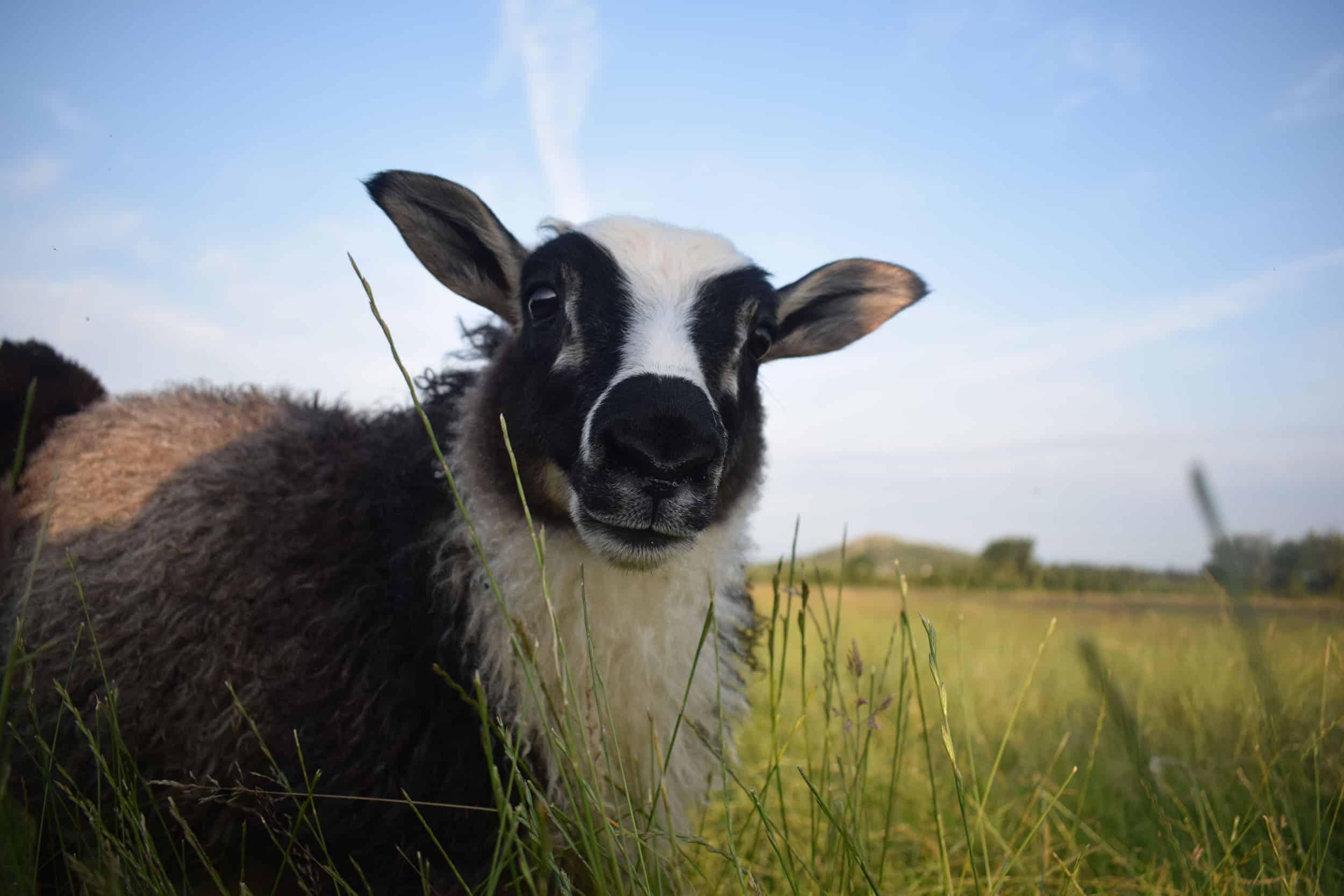 laurel cute lamb