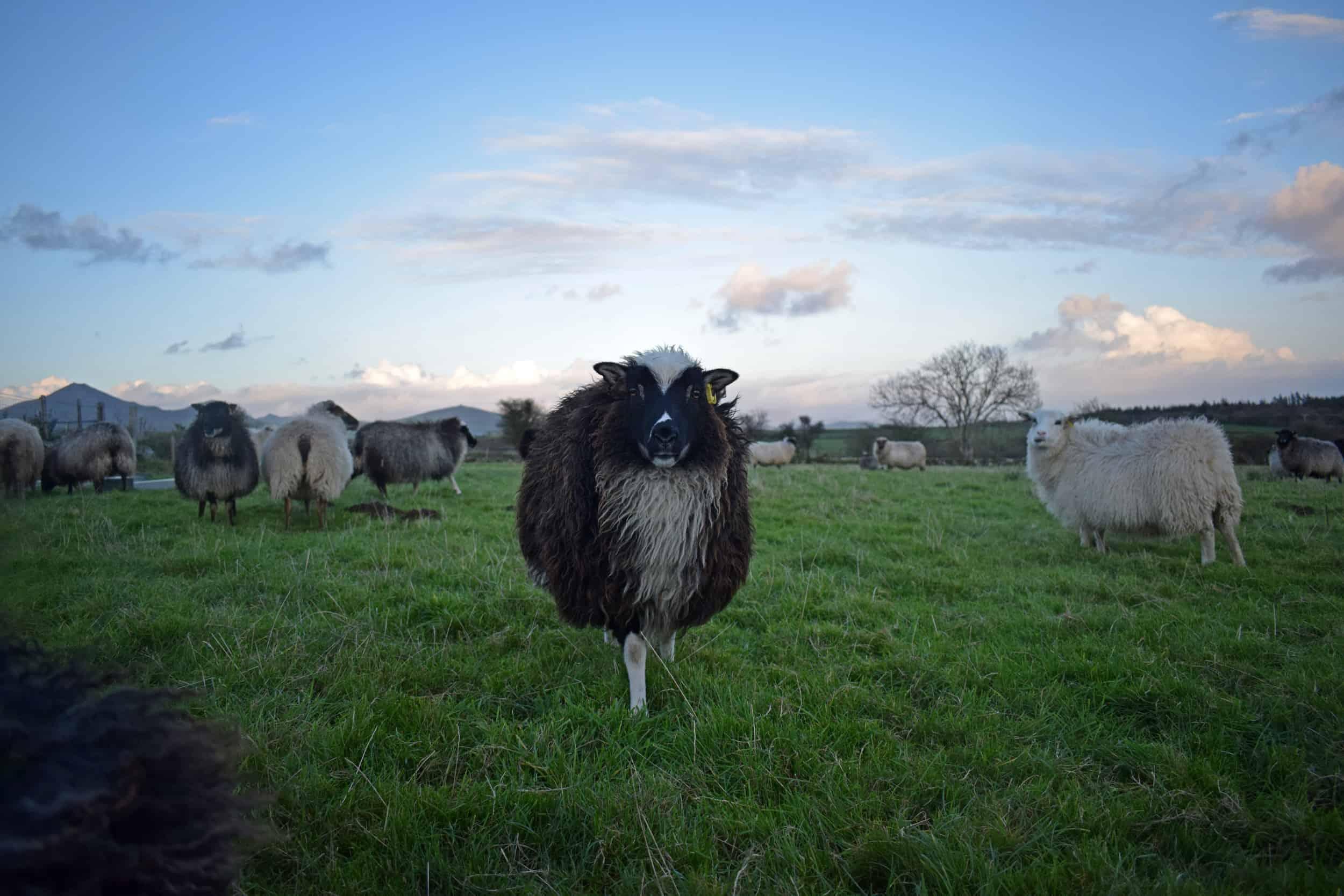 North Wales Icelandic sheep