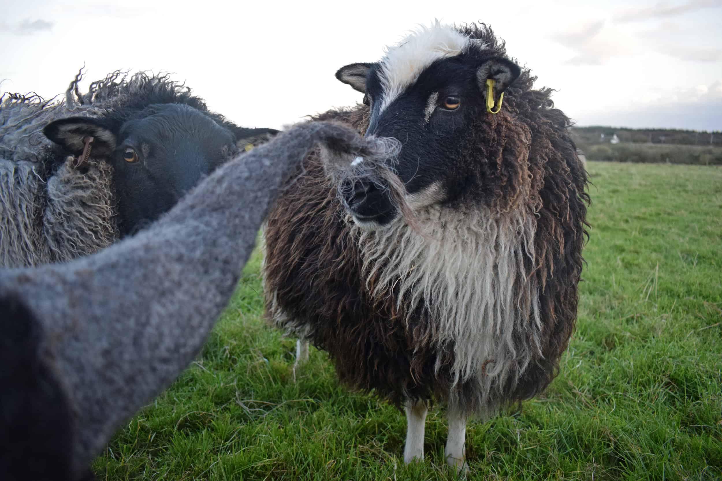Icelandic cross fleece