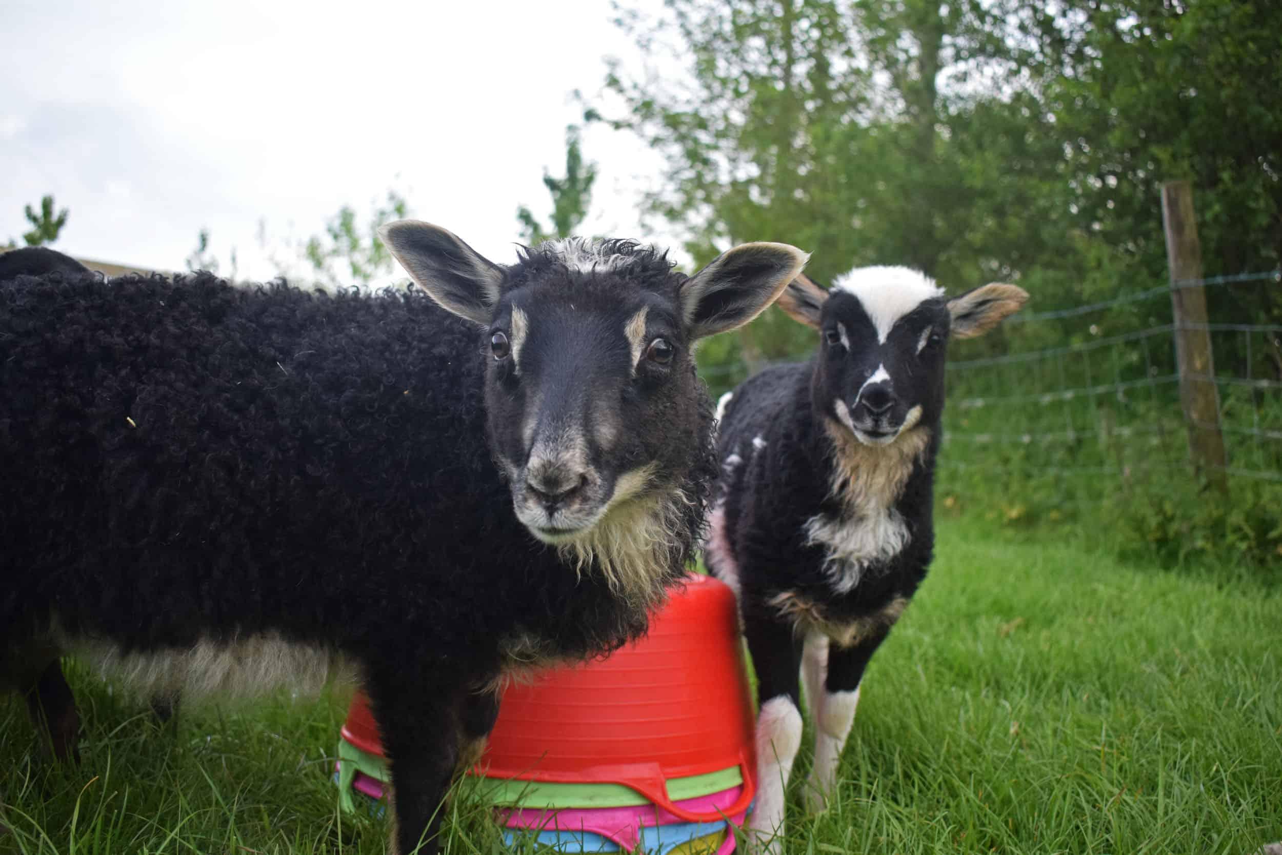icelandic x lambs