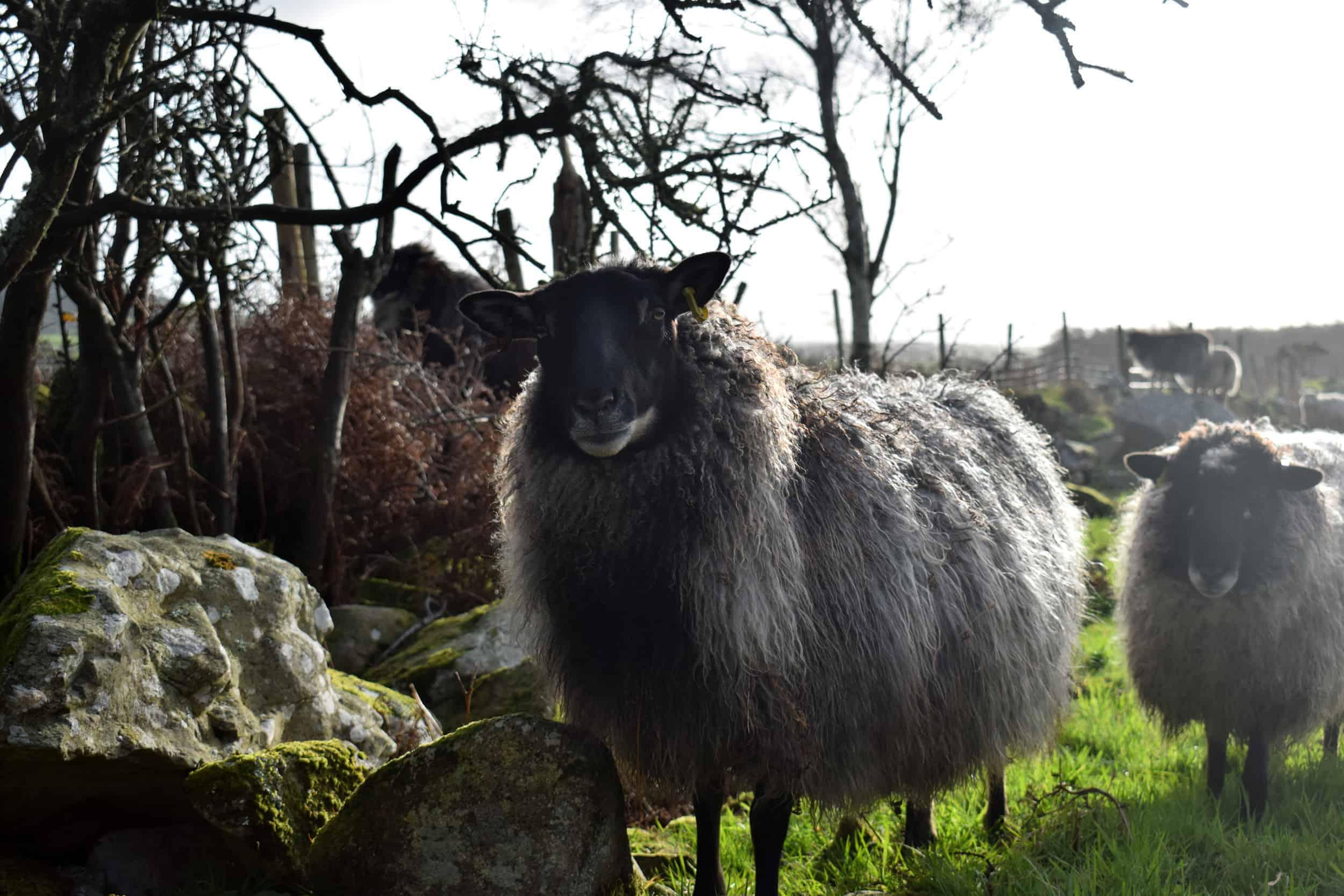 gotland cross icelandic sheep