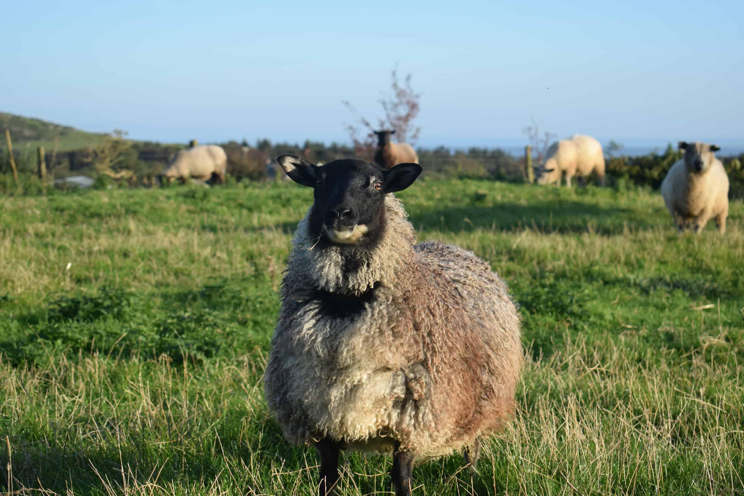 gotland cross sheep