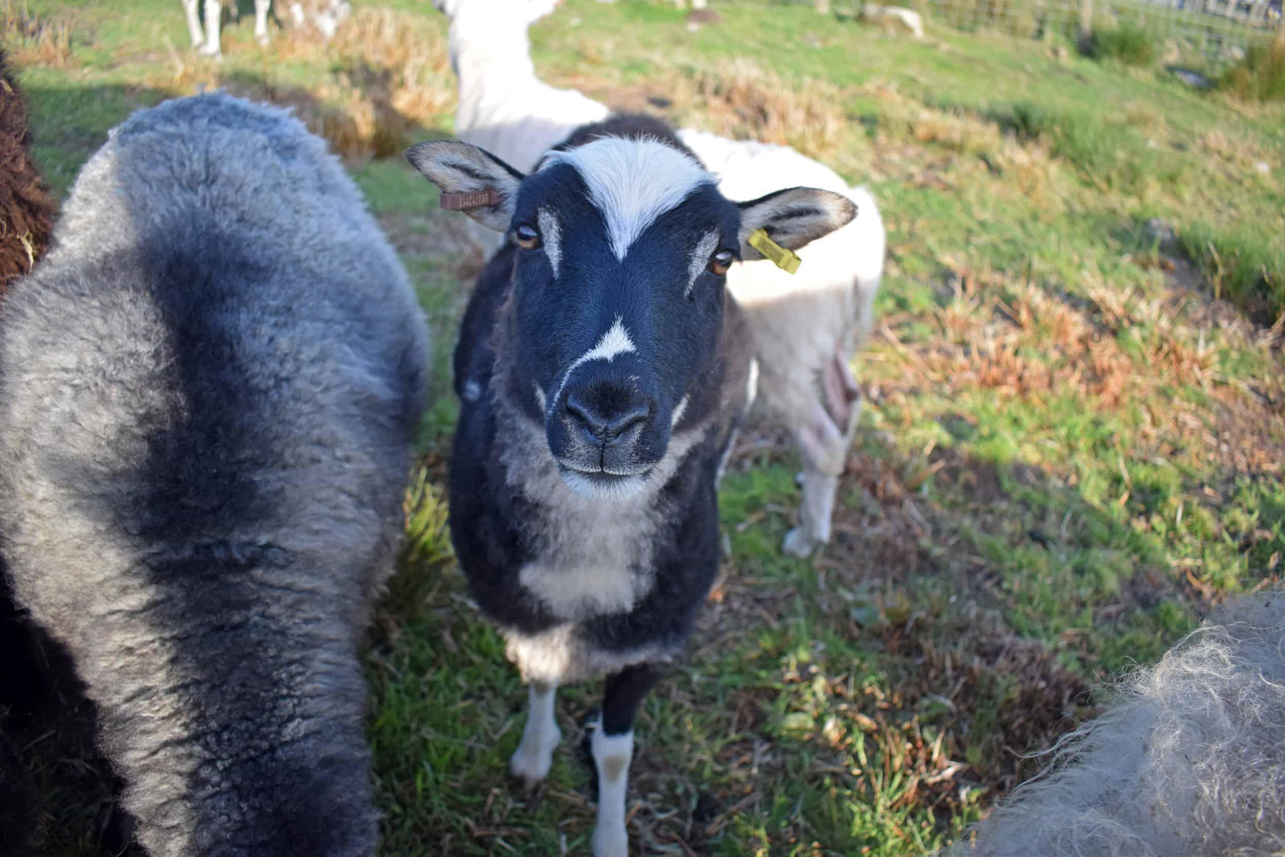 Lupin patchwork sheep icelandic cross soay jacob black mouflon beautiful natural 5
