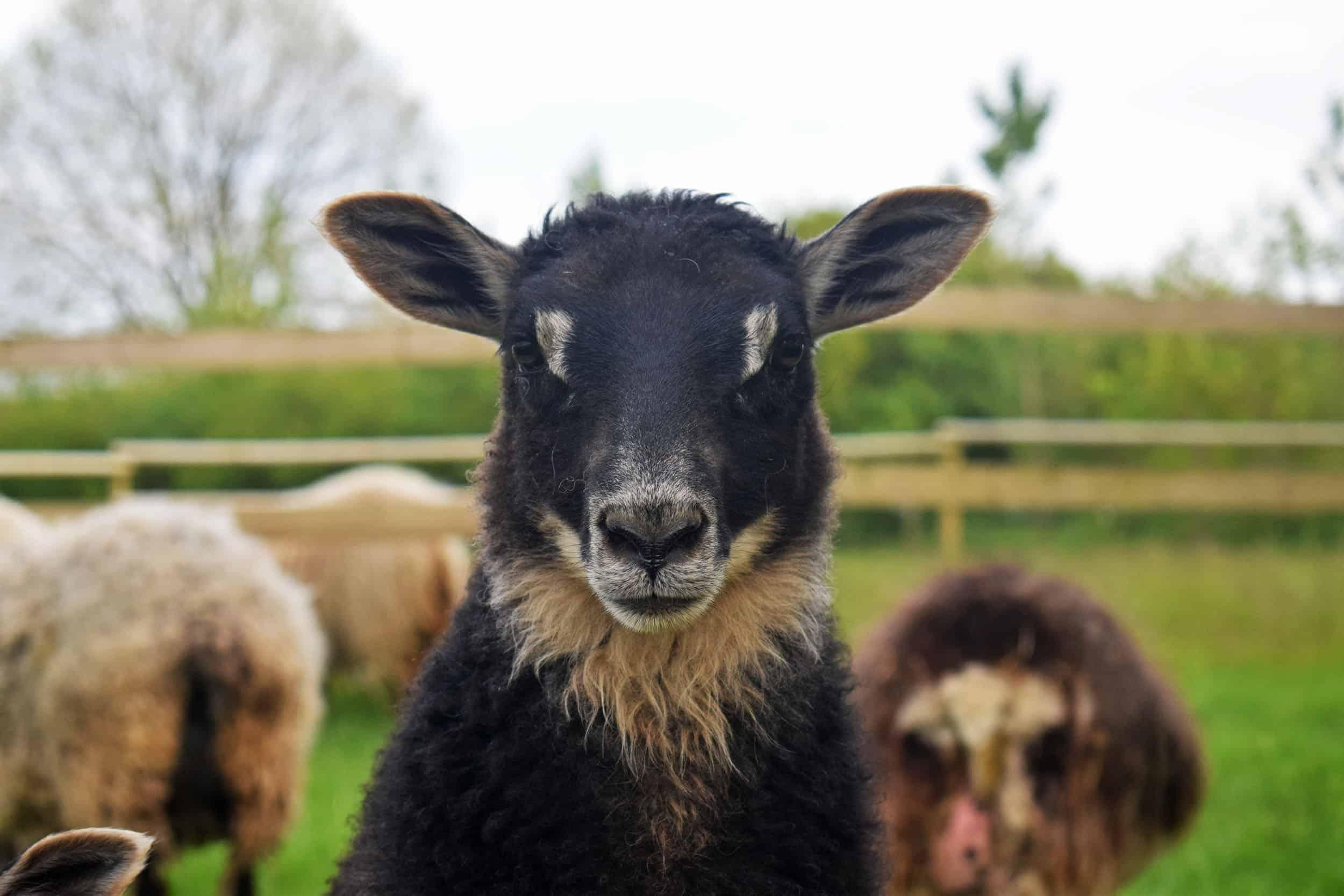gotland cross lamb