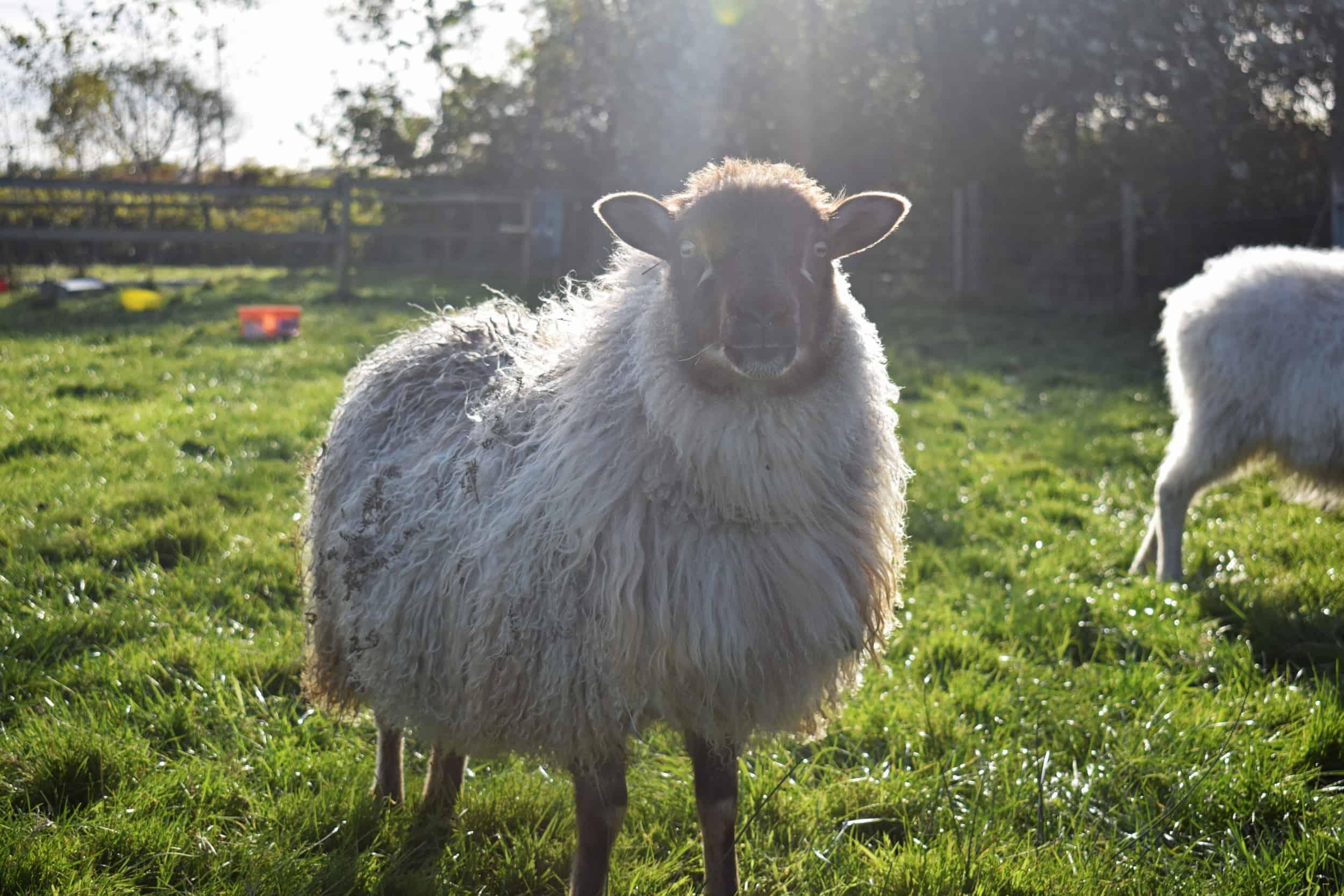 mouflon icelandic lamb