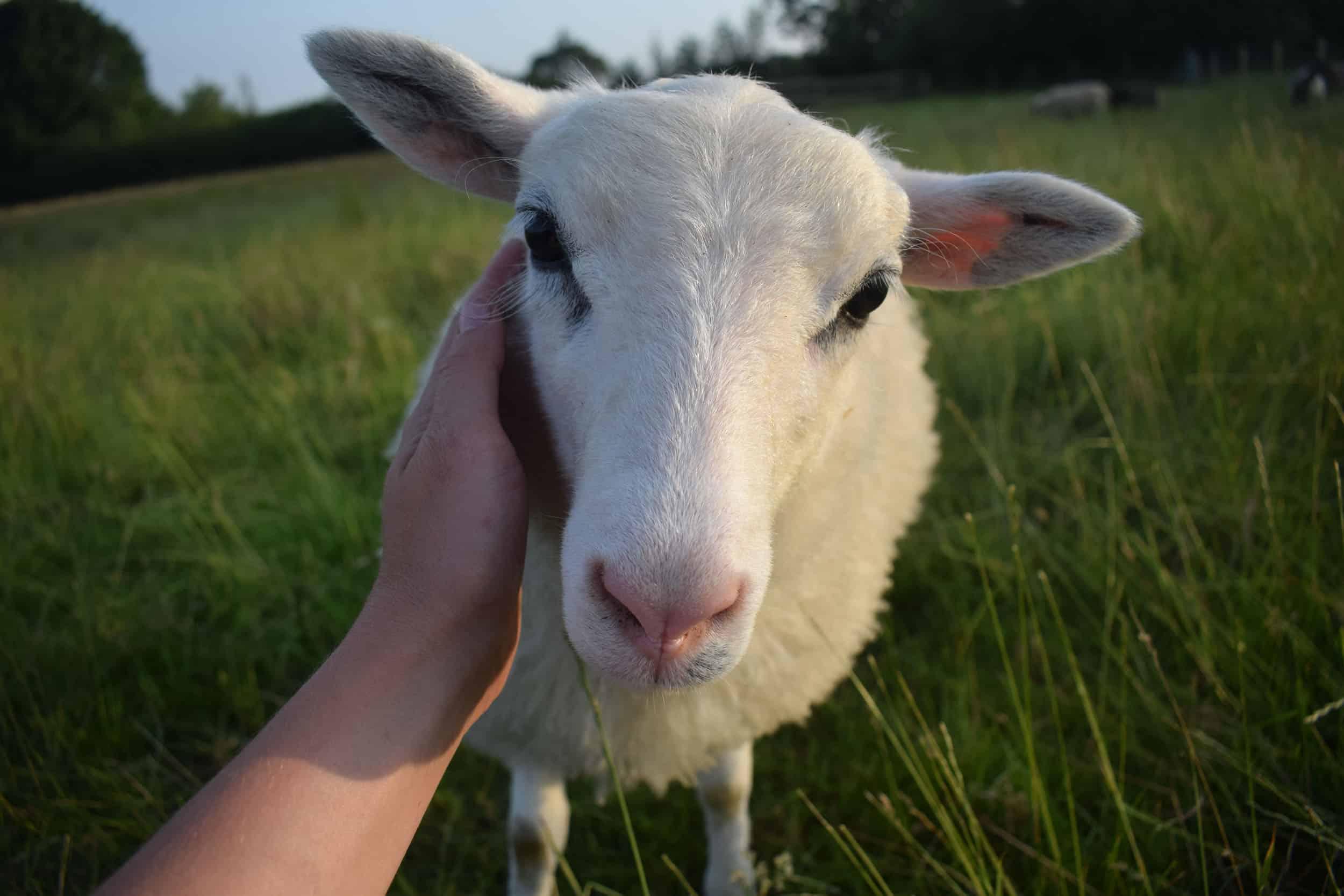 Mint pet sheep