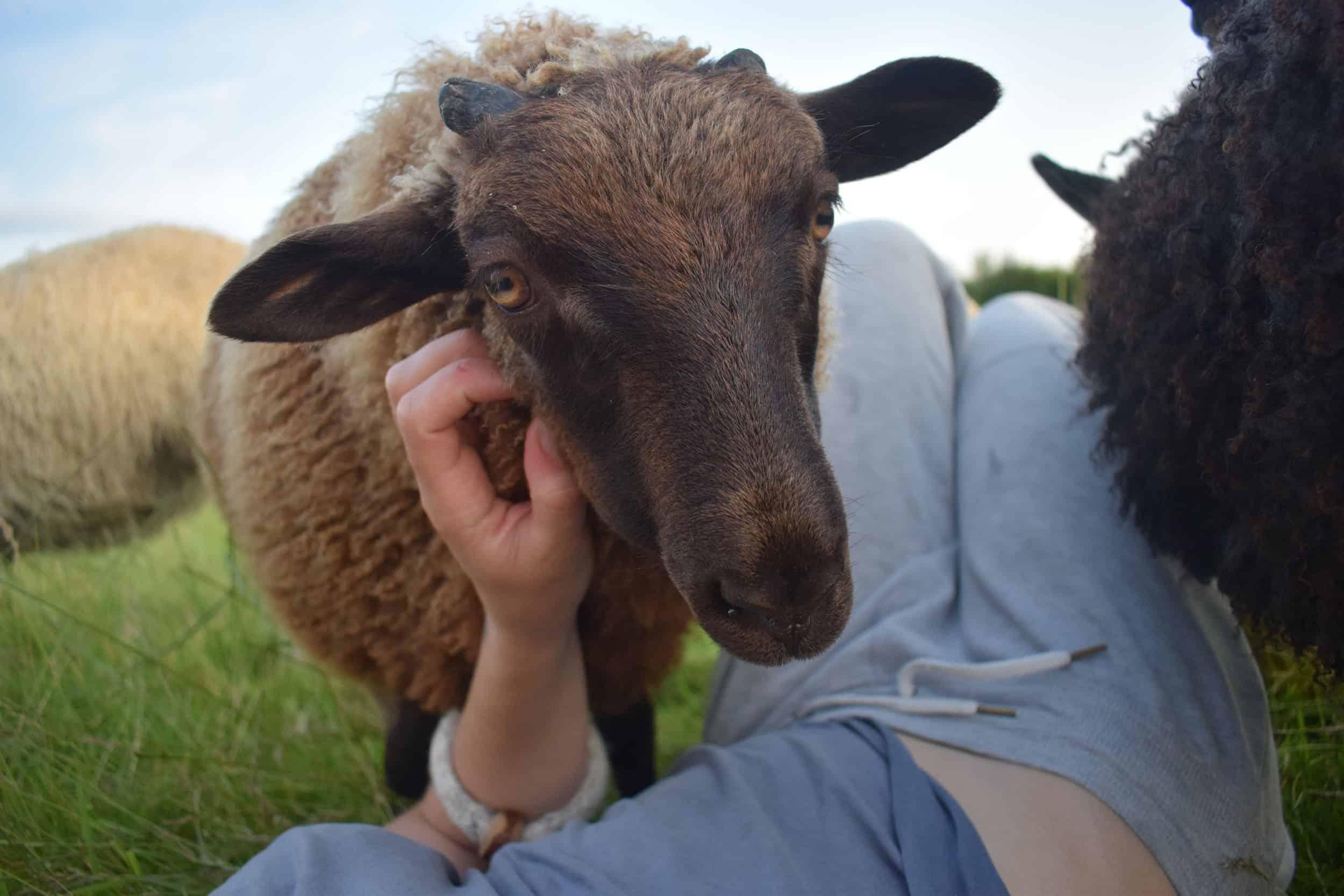 pet sheep