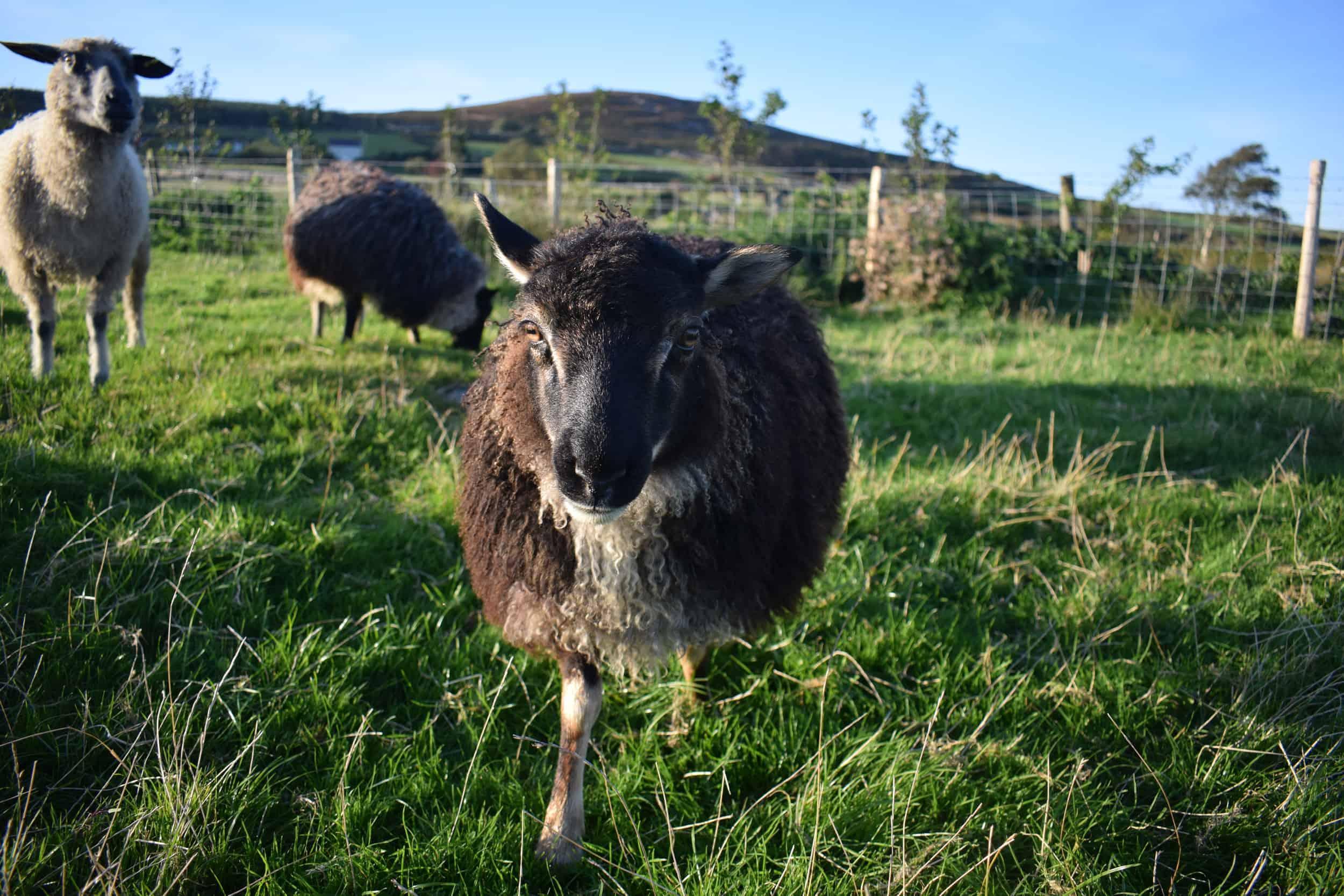 frosted mouflon lamb