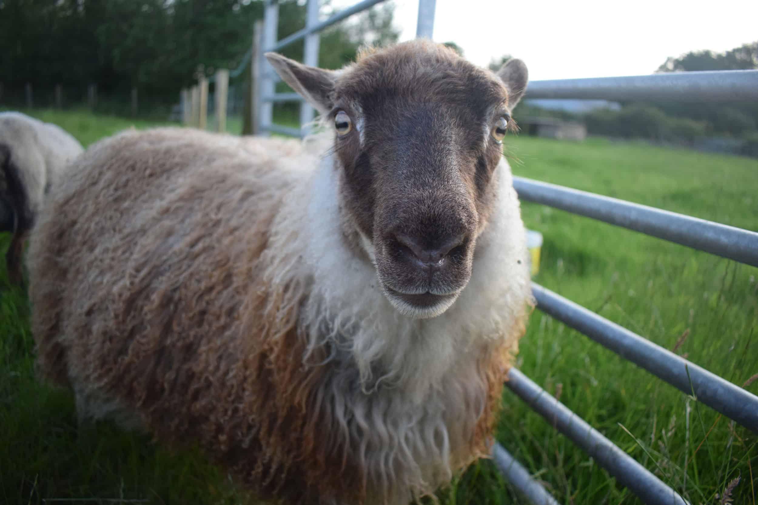 Piper moorit mouflon icelandic lamb north wales 2