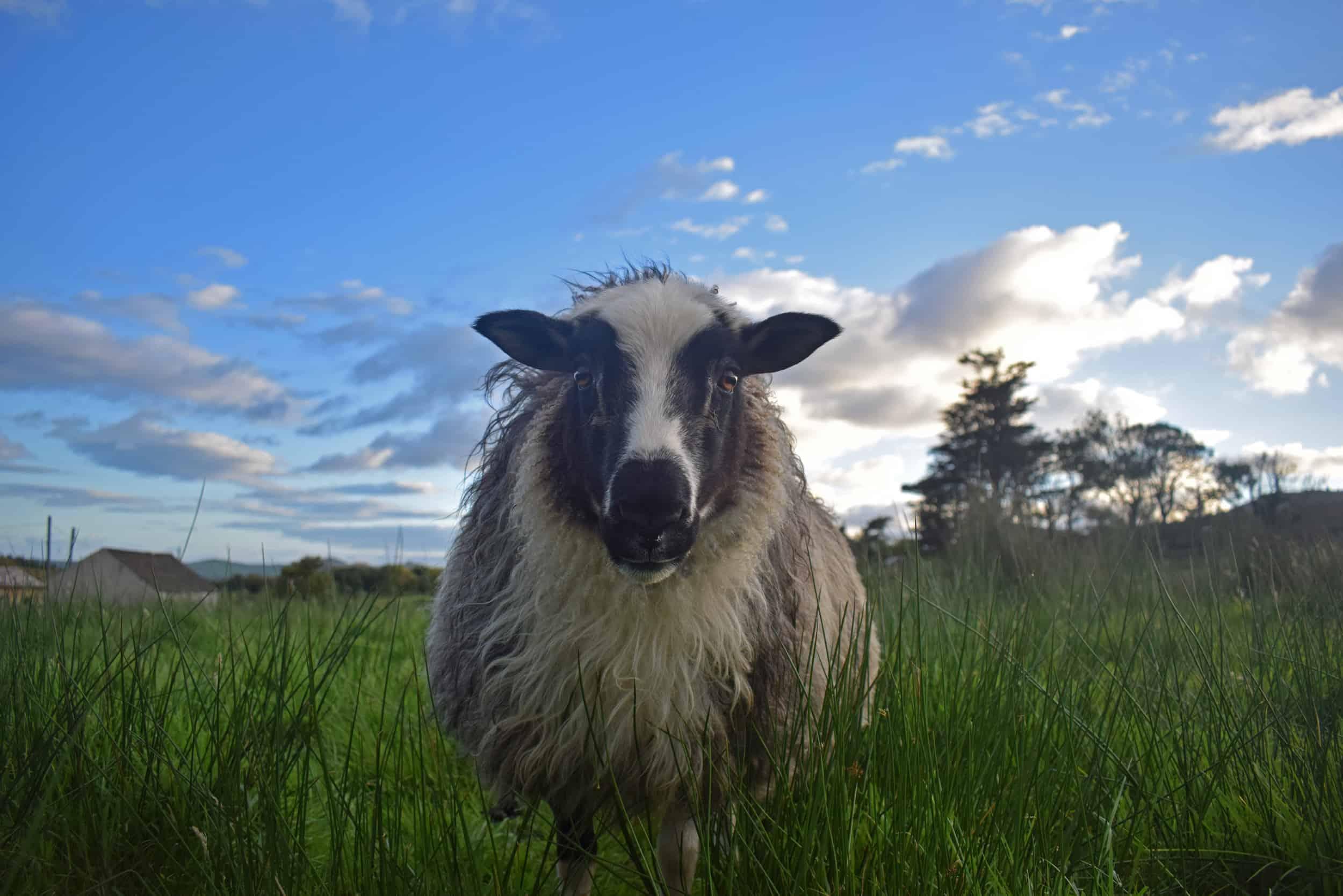 Laurel icelandic sheep patchwork 3