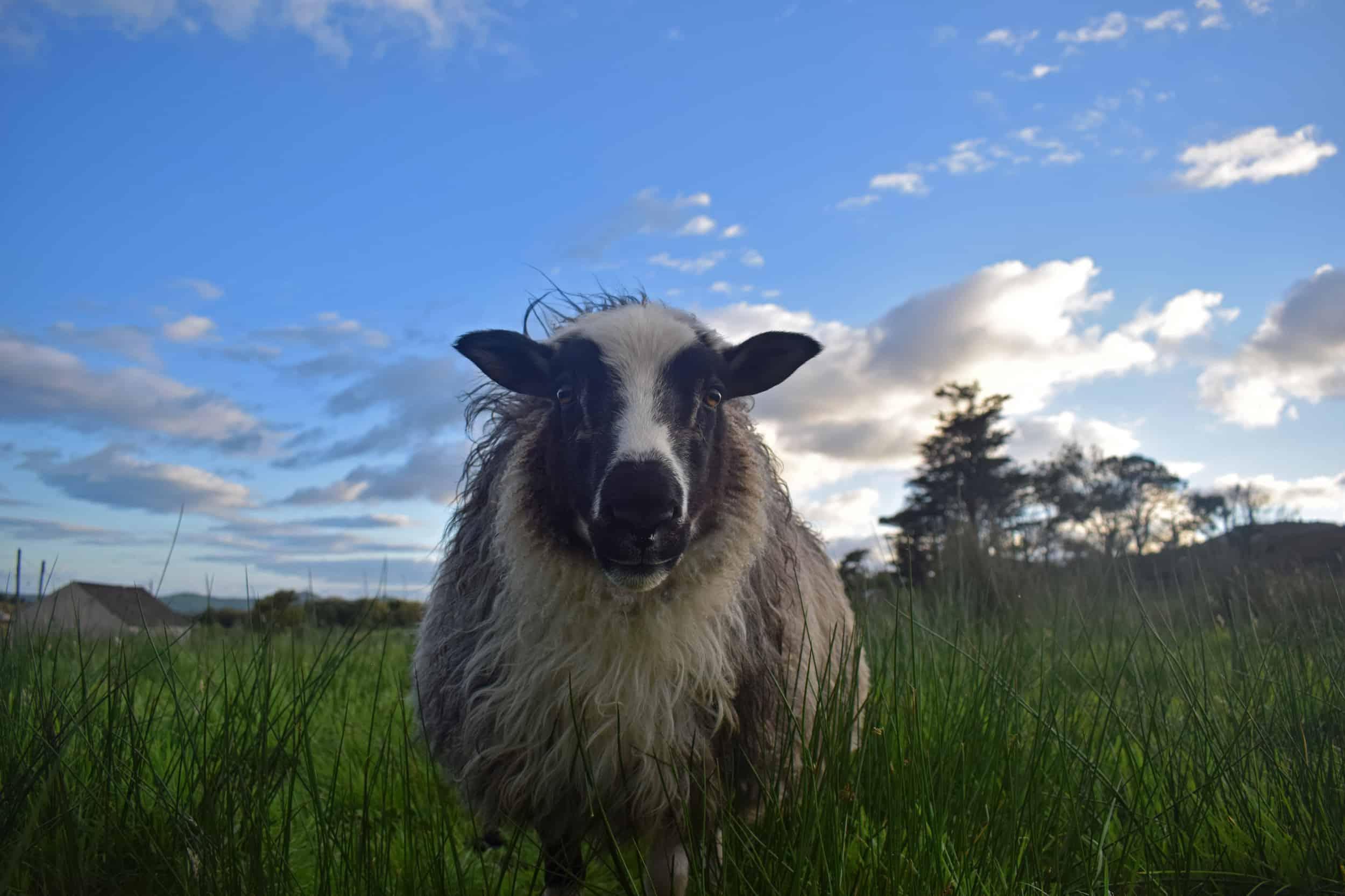 Laurel icelandic sheep patchwork 4