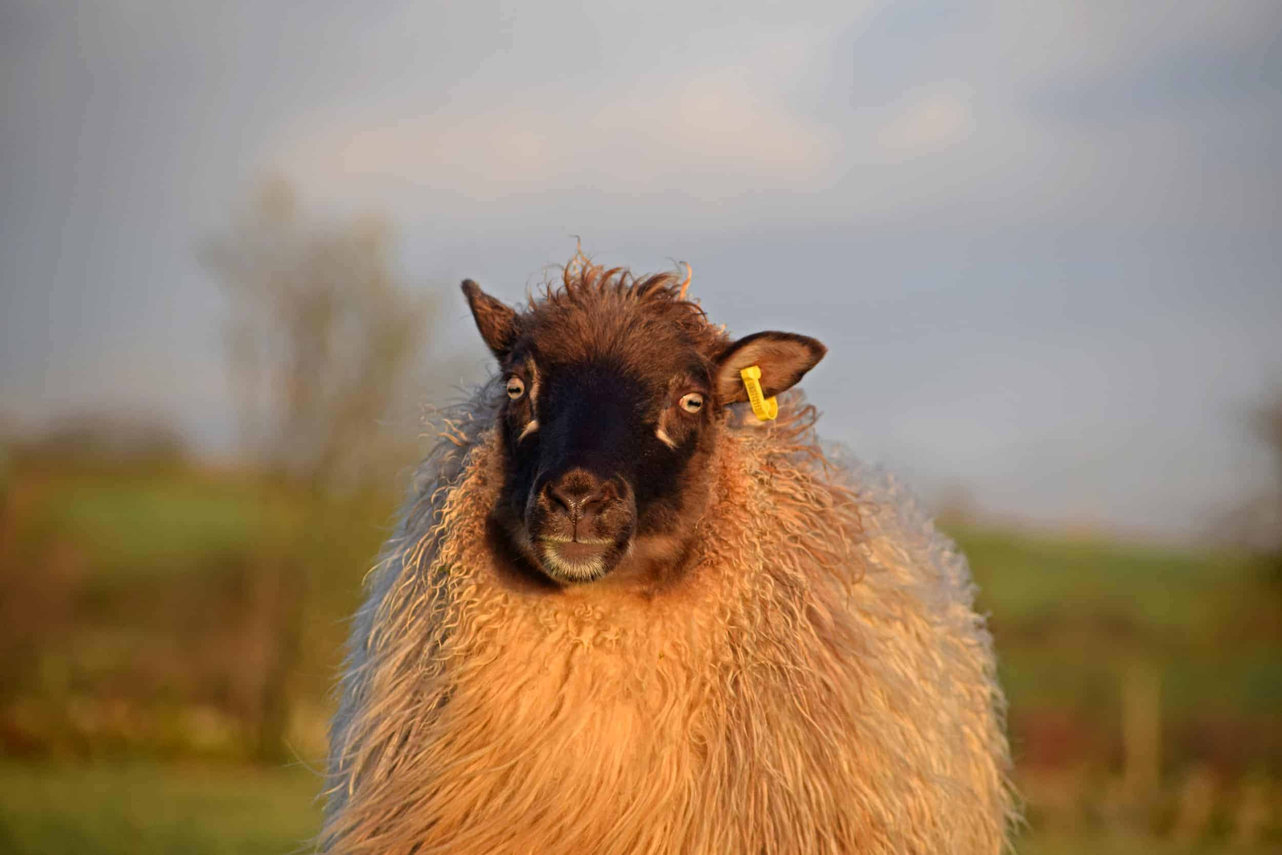 maris icelandic sheep