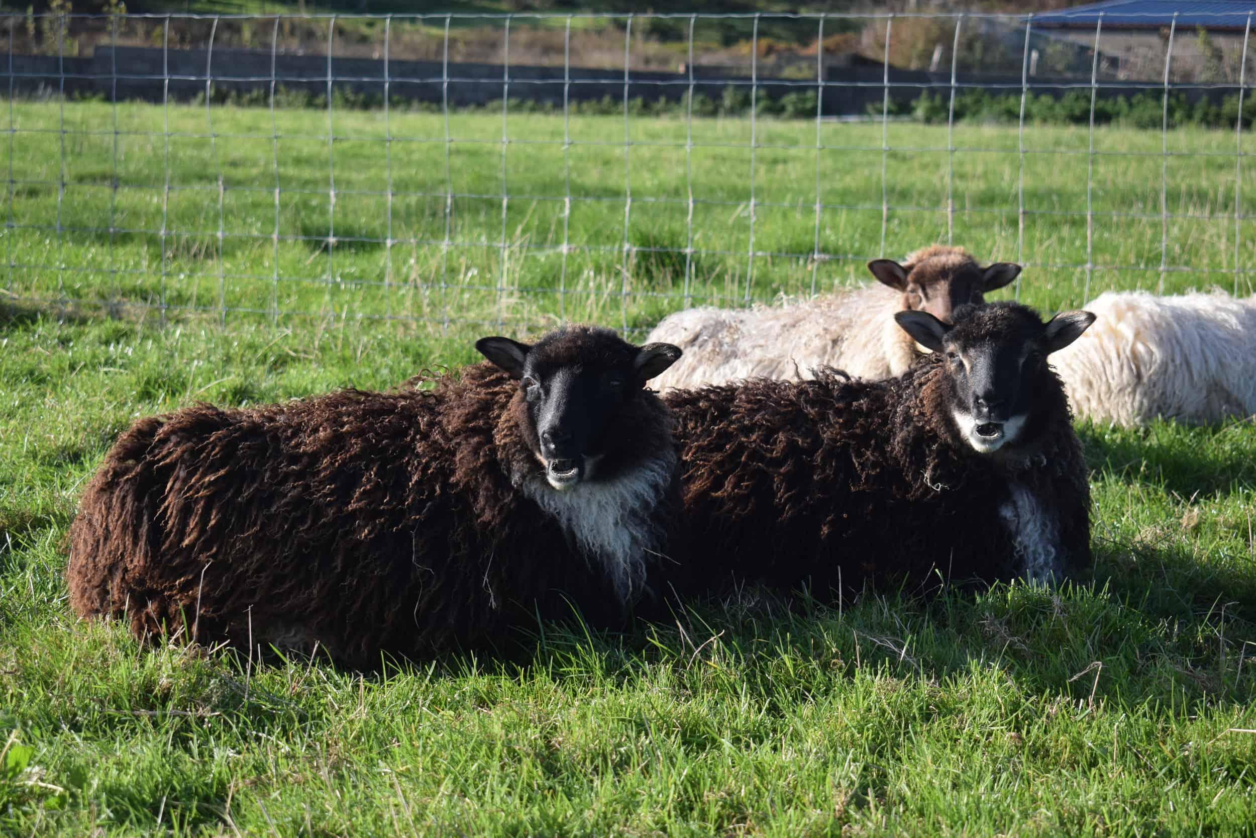 icelandic cross lambs