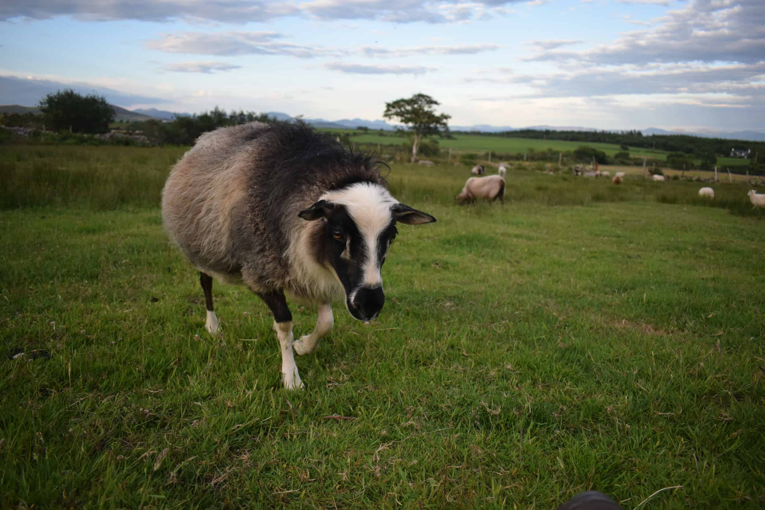 laural icelandic sheep patchwork sheep north wales
