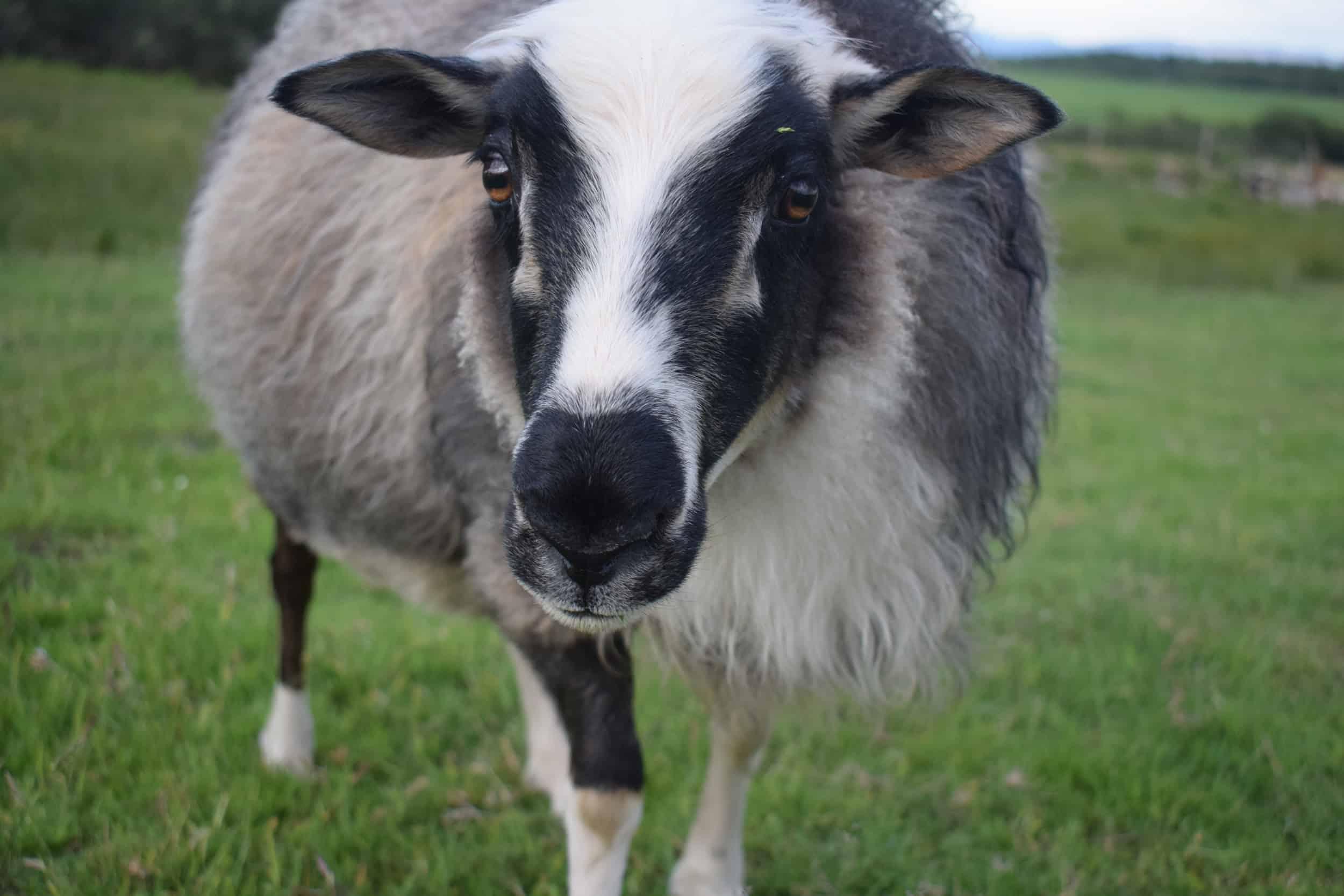 icelandic sheep laurel