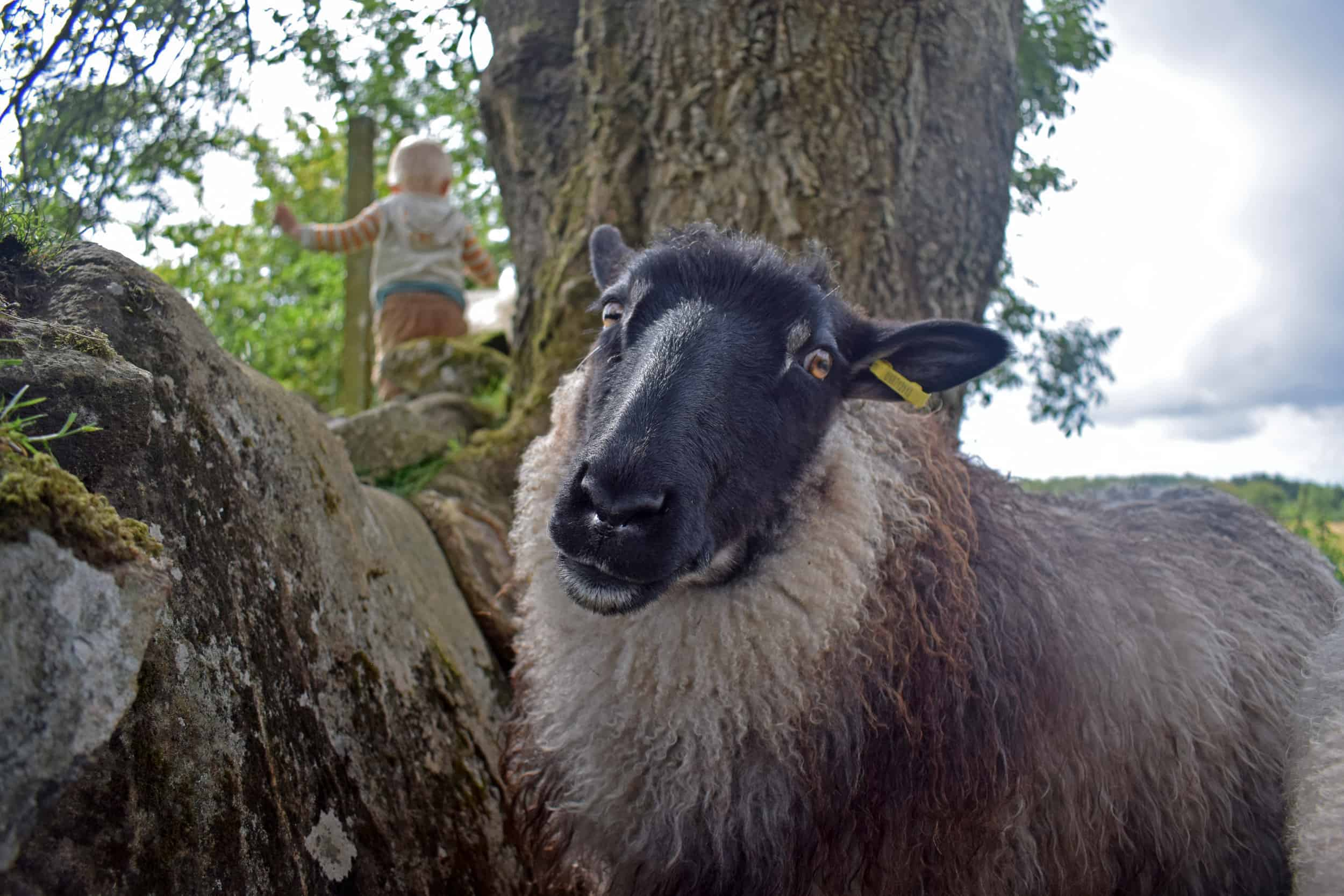 ivar patchwork sheep 3