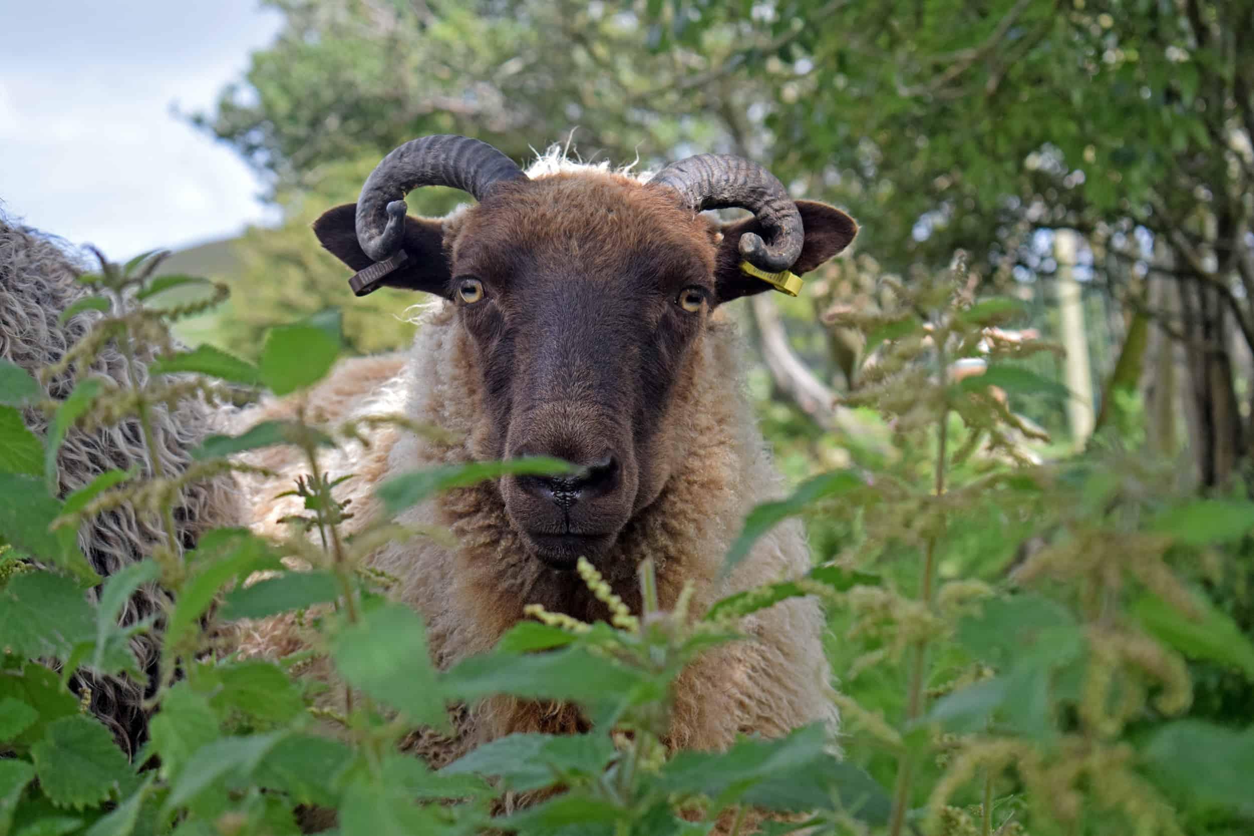 nettles sheep