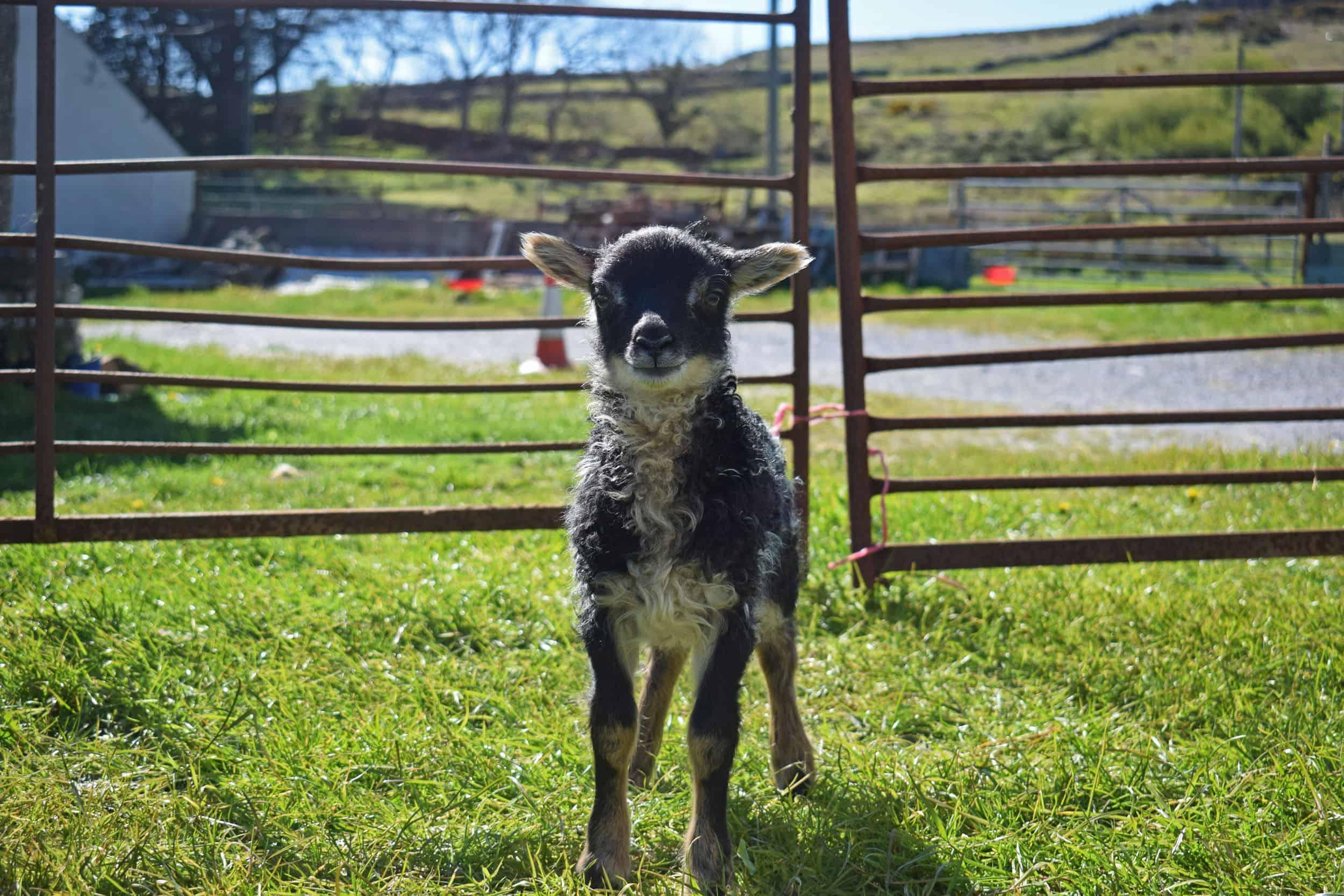 grey mouflon lamb
