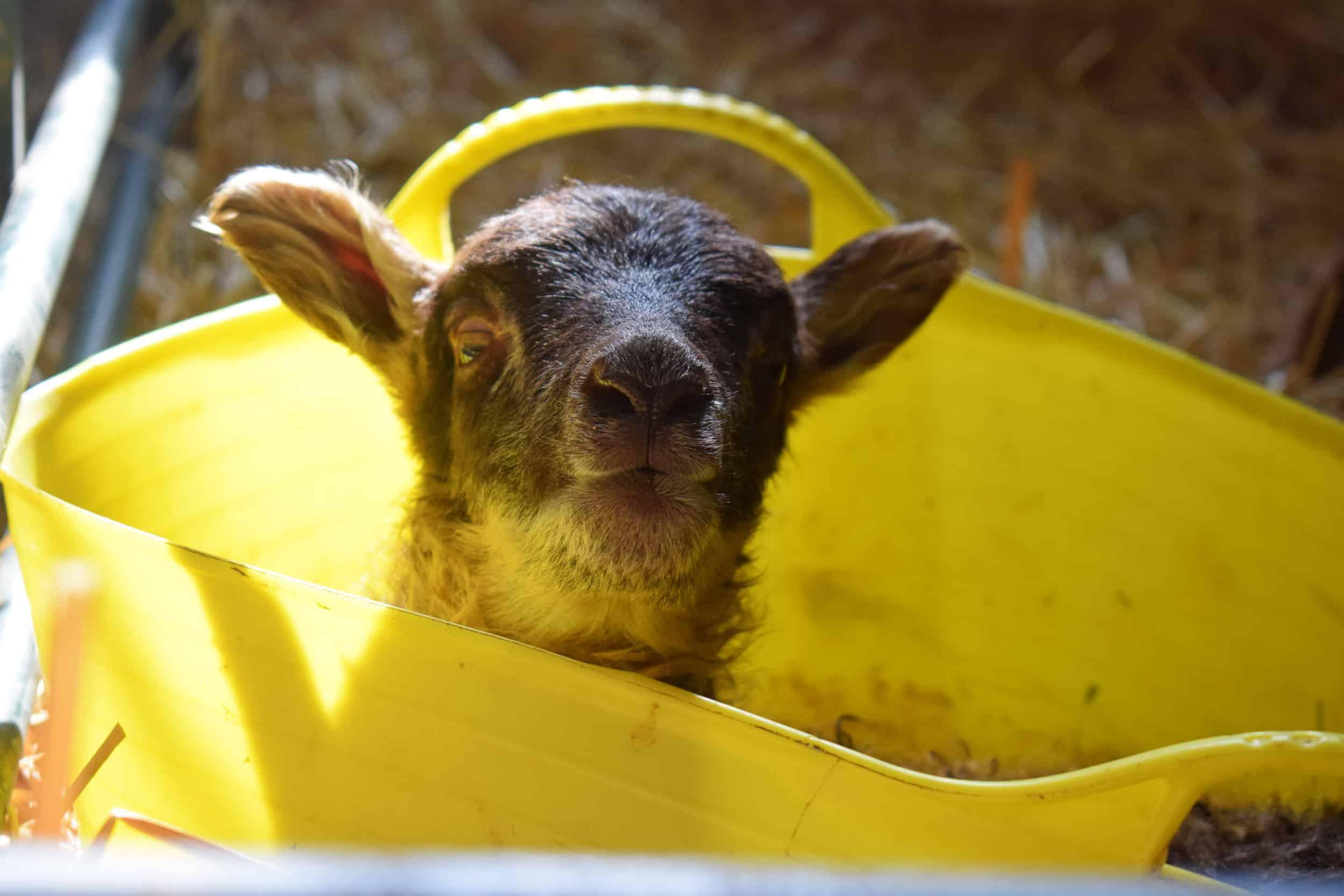 bucket lamb