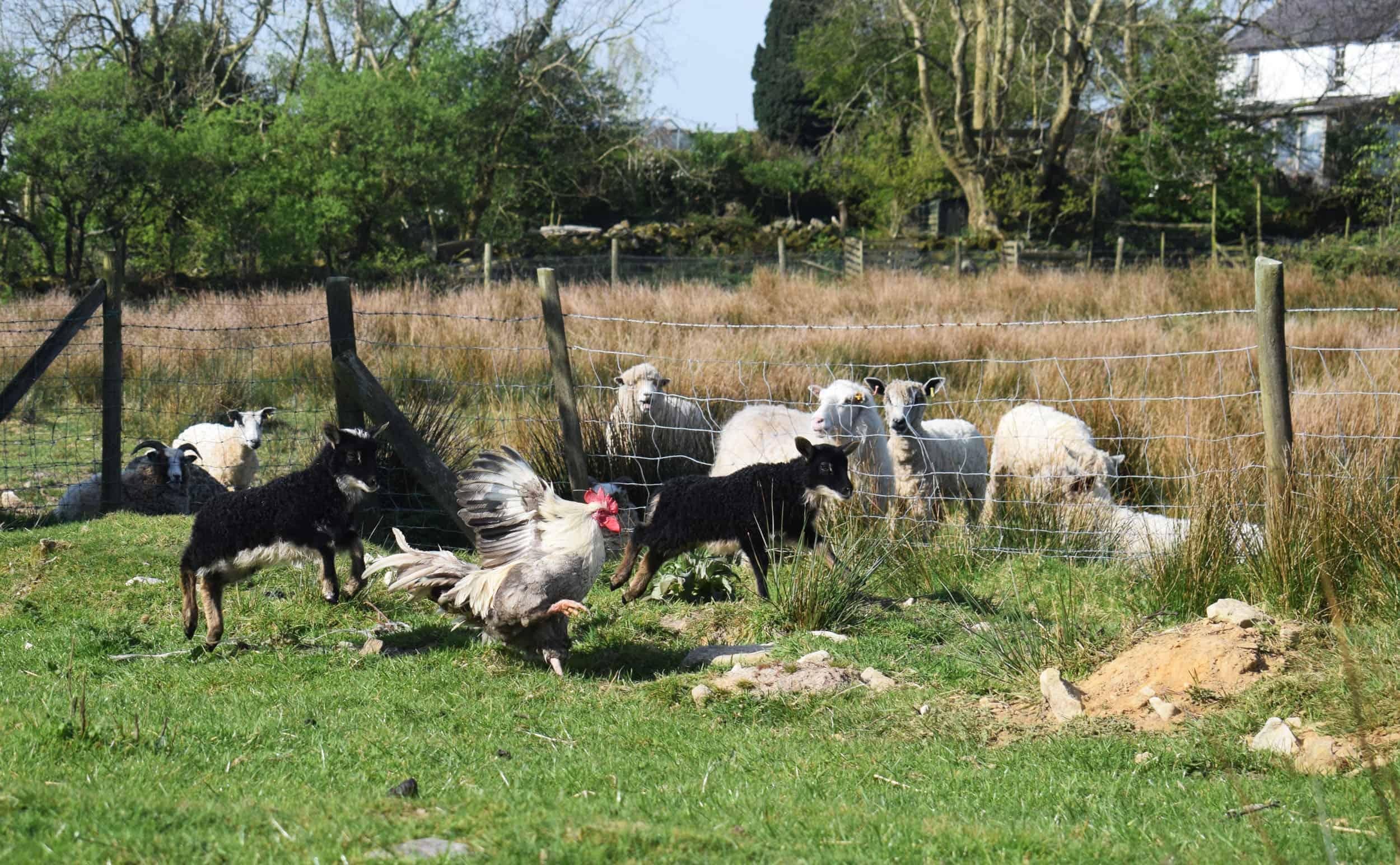 lamb races