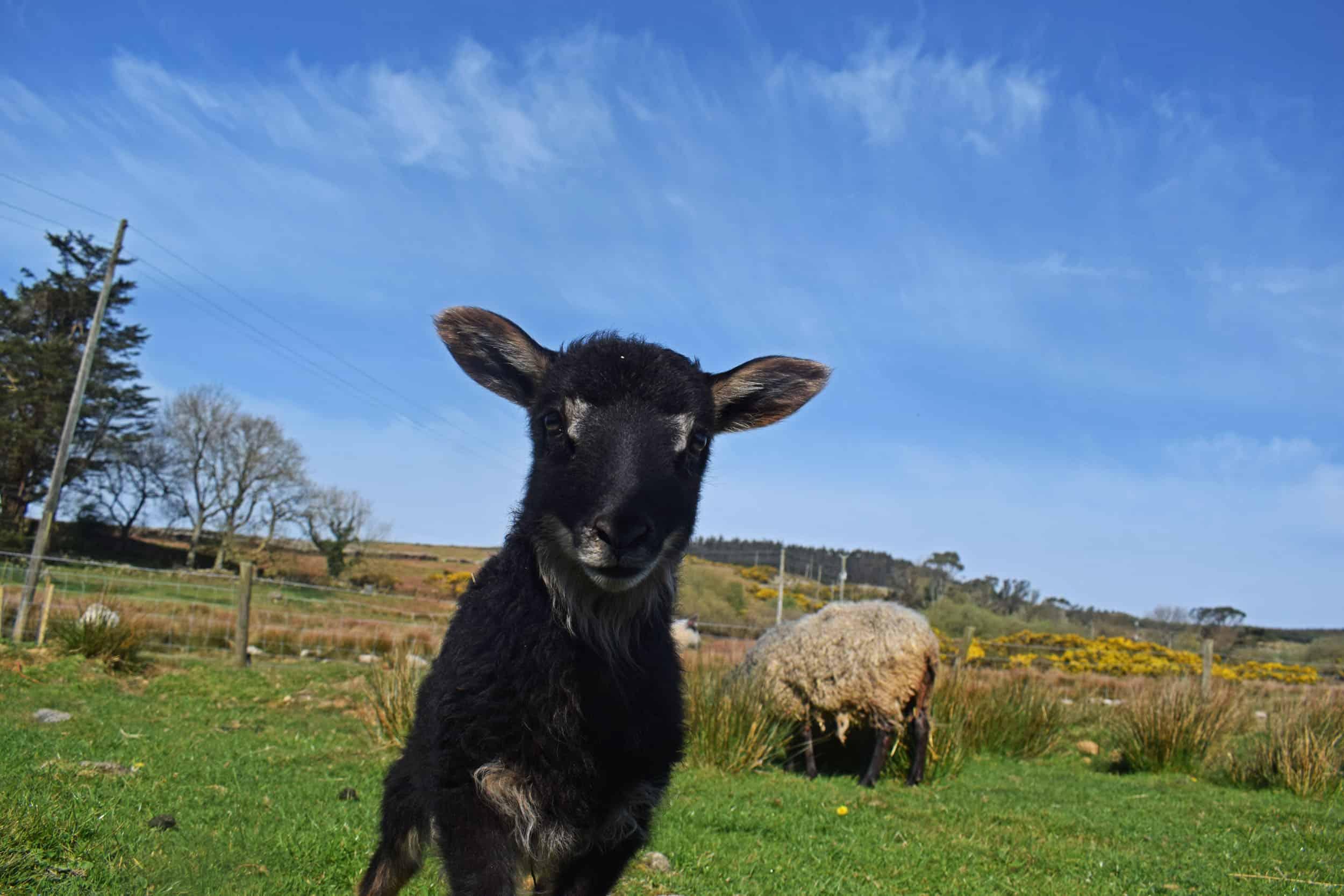 Astrid gotland cross icelandic grey mouflon patchwork sheep wool felted fleece rug ethical kind lamb