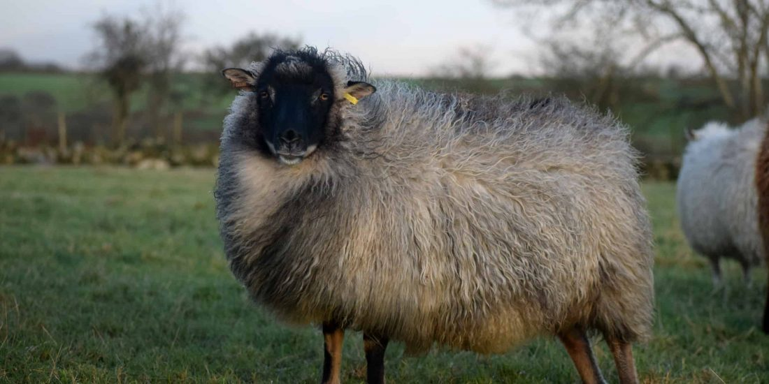 dash grey mouflon