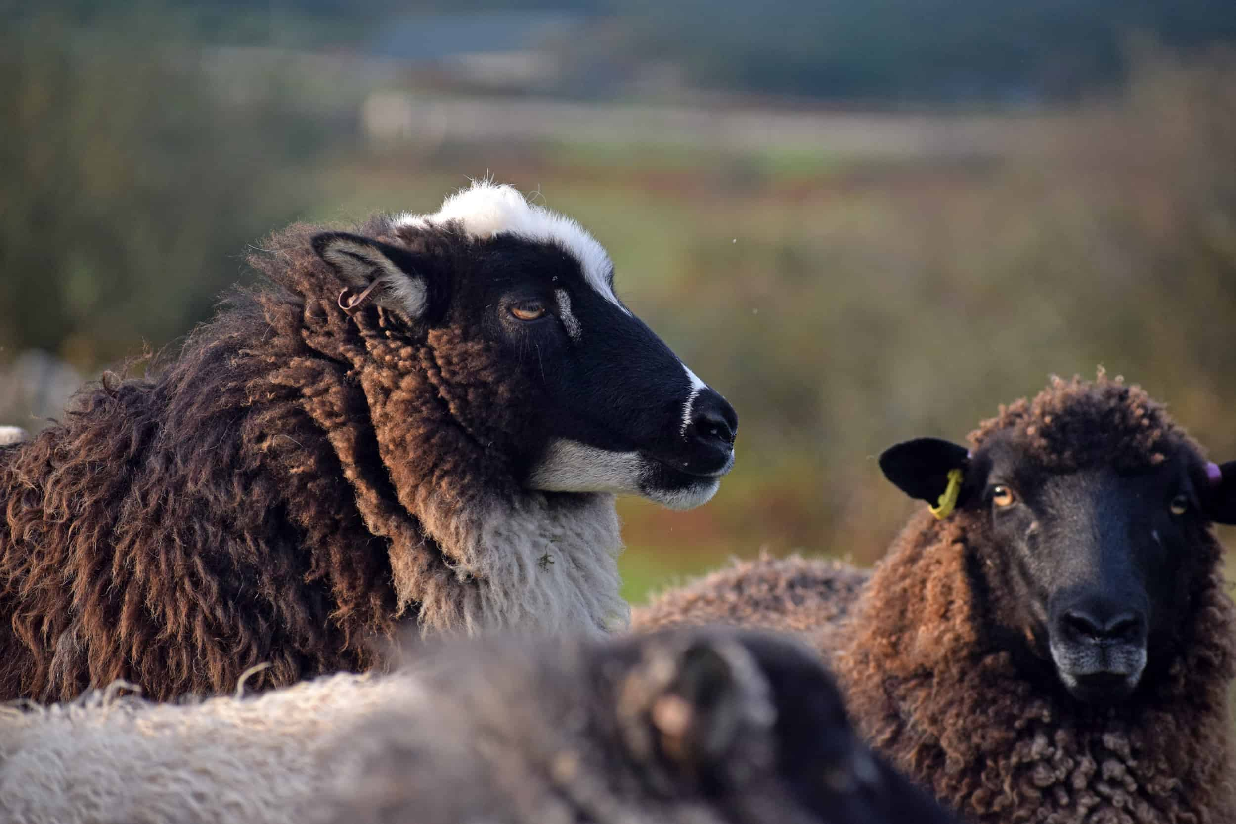 Icelandic cross sheep