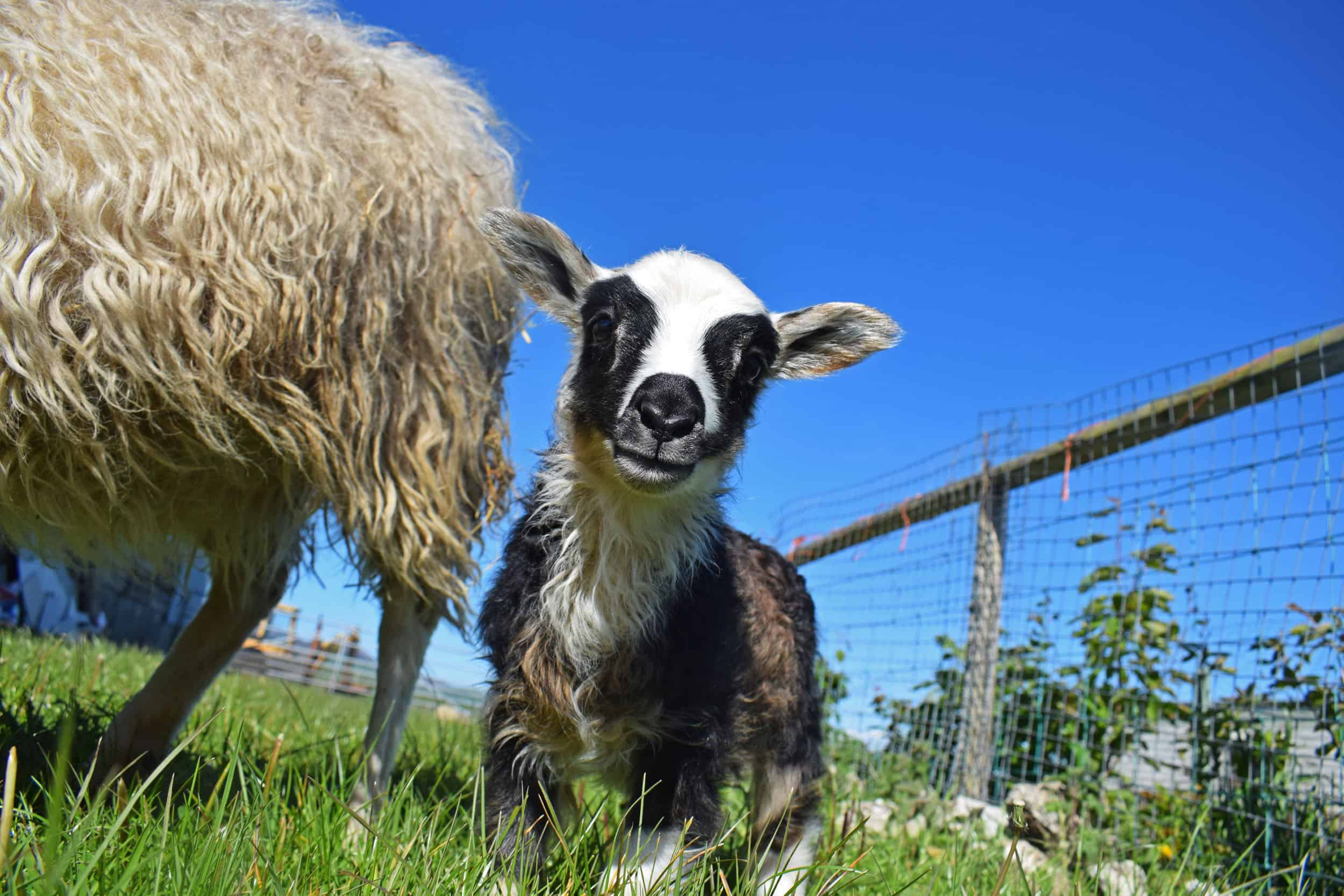 Laurel icelandic lamb