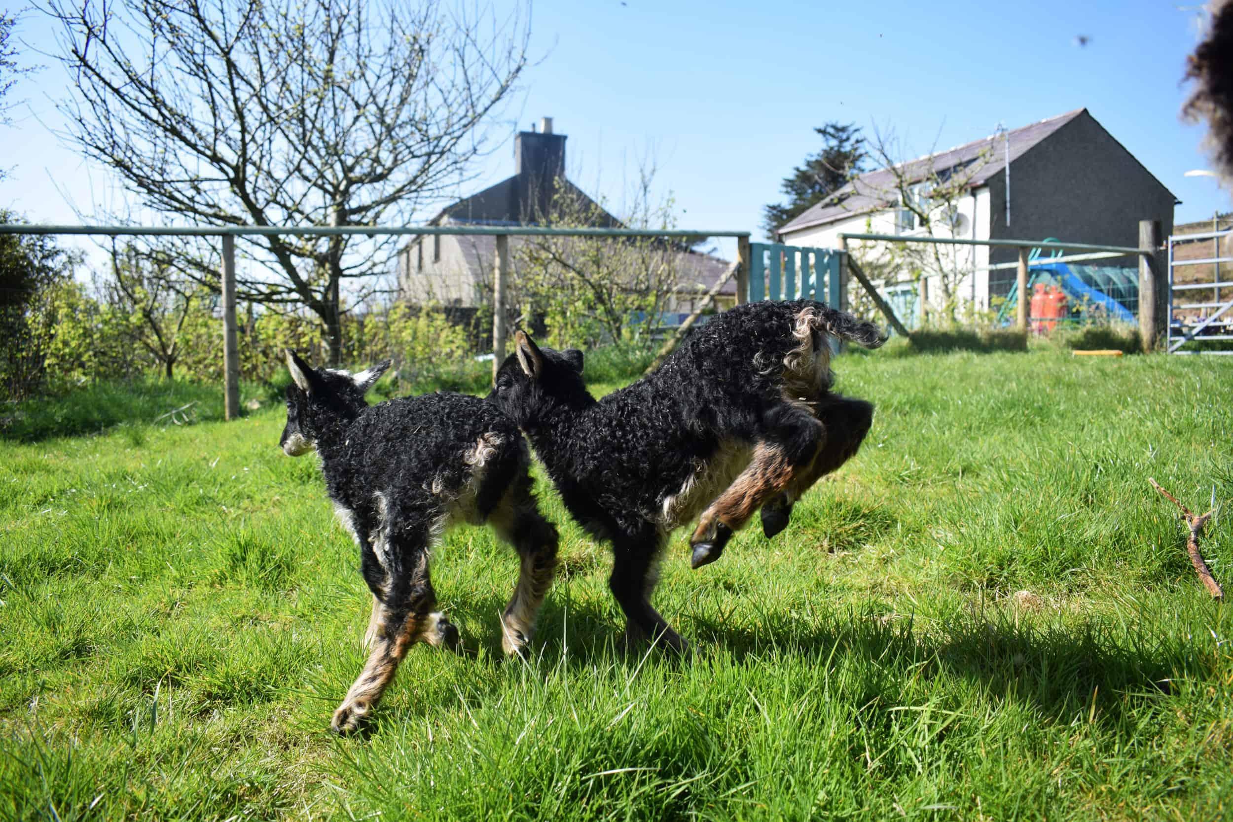 skipping lambs