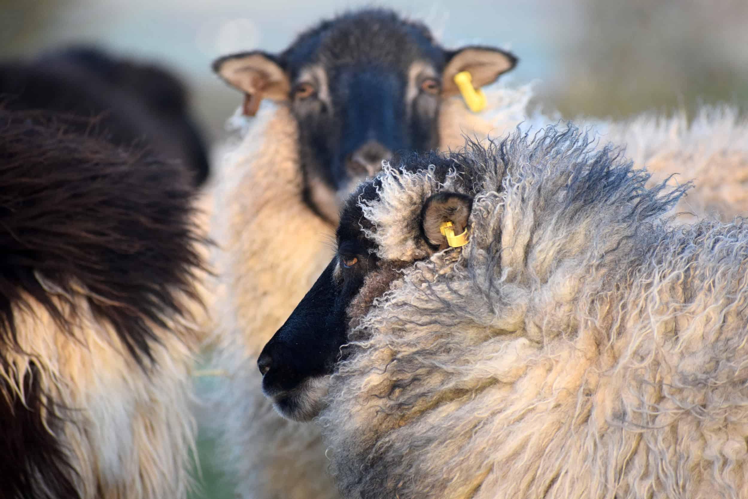 Dash patchwork sheep grey mouflon