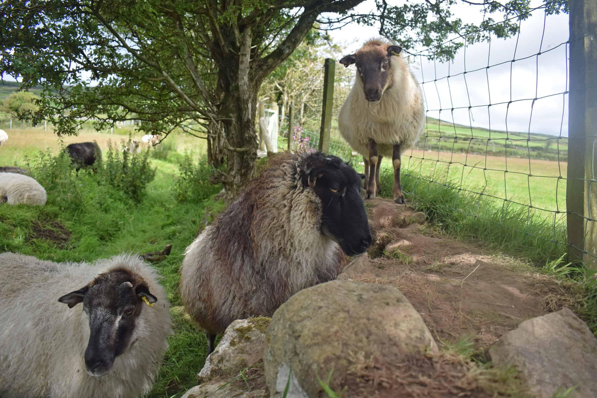 Ivar gotland cross icelandic grey mouflon patchwork sheep wool felted fleece rug ethical kind 5