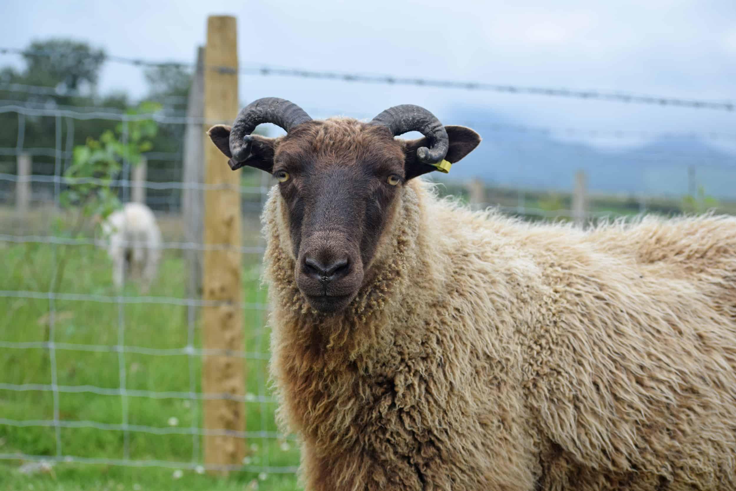 icelandic cross moorit sheep