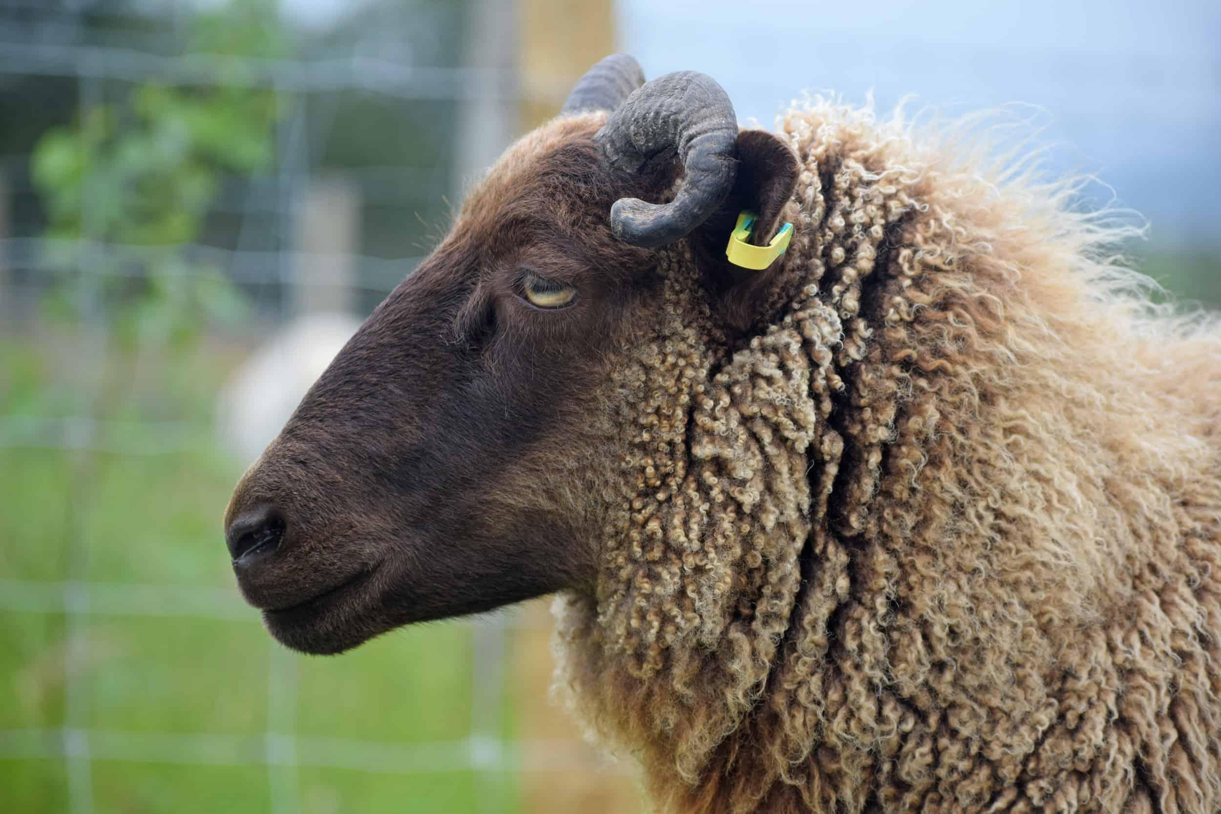 horns sheep