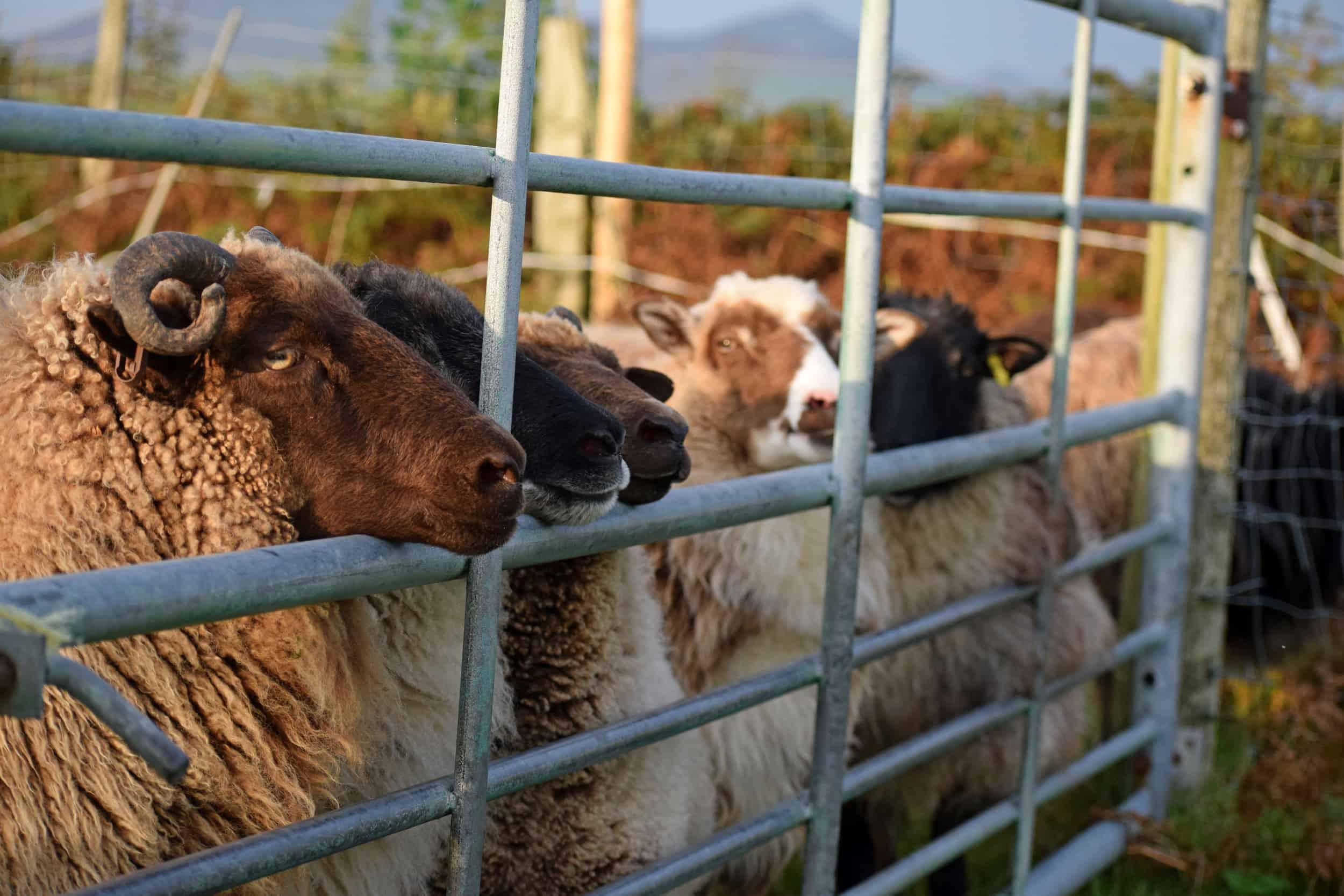 patchwork sheep