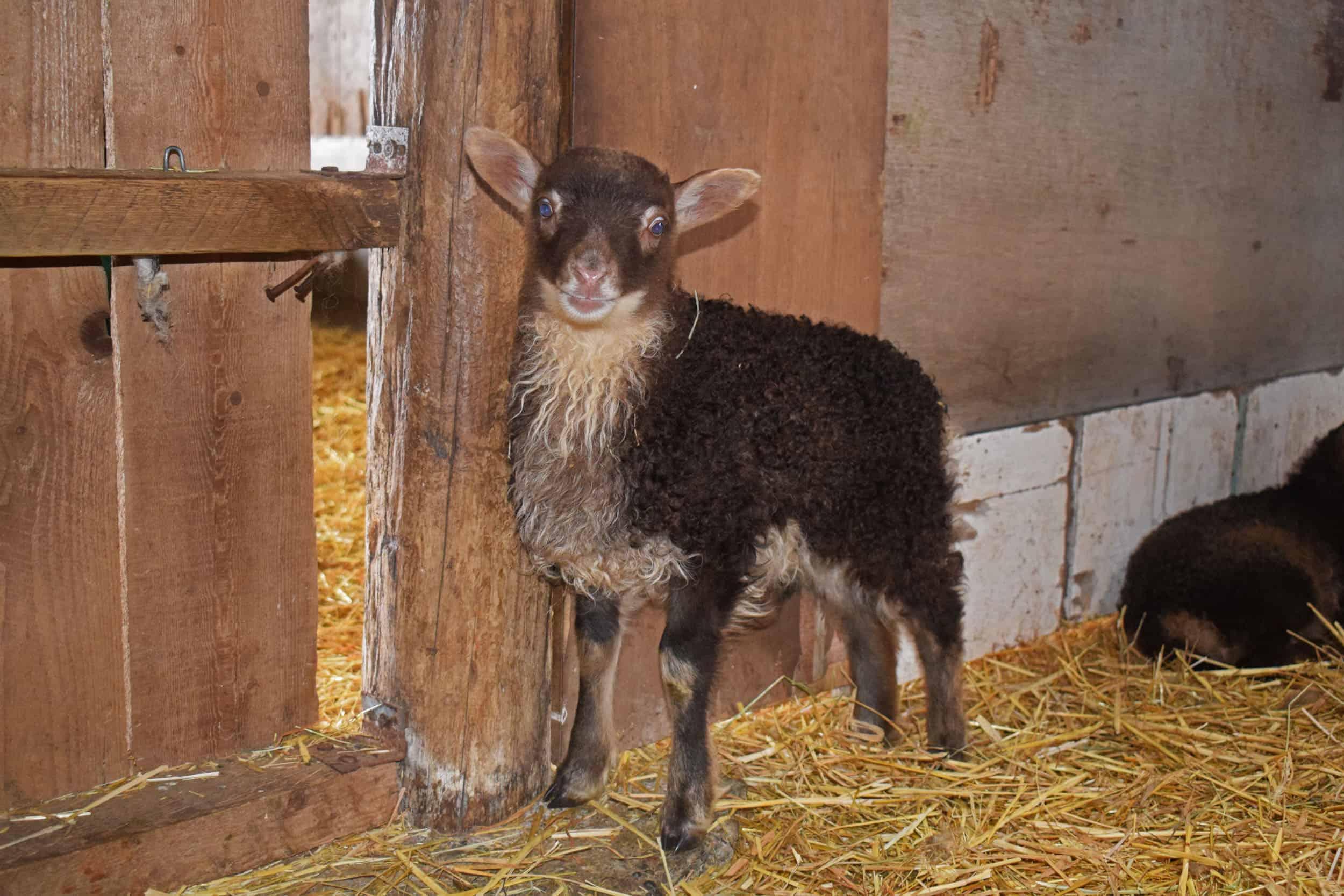 moorit mouflon lamb