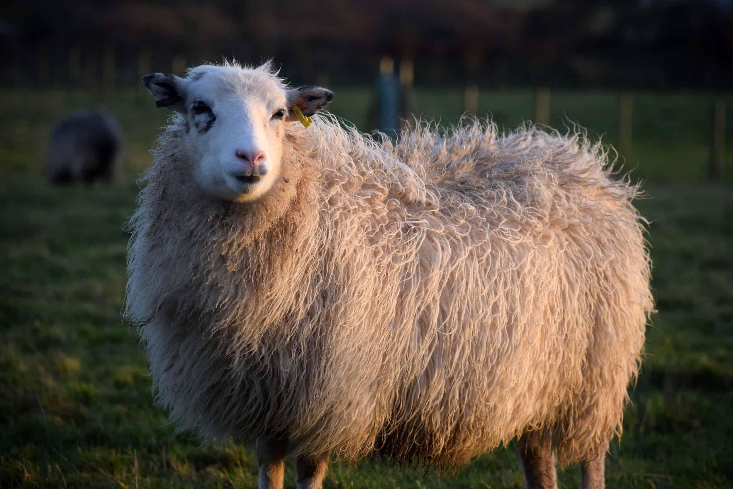 Mint icelandic cross sheep