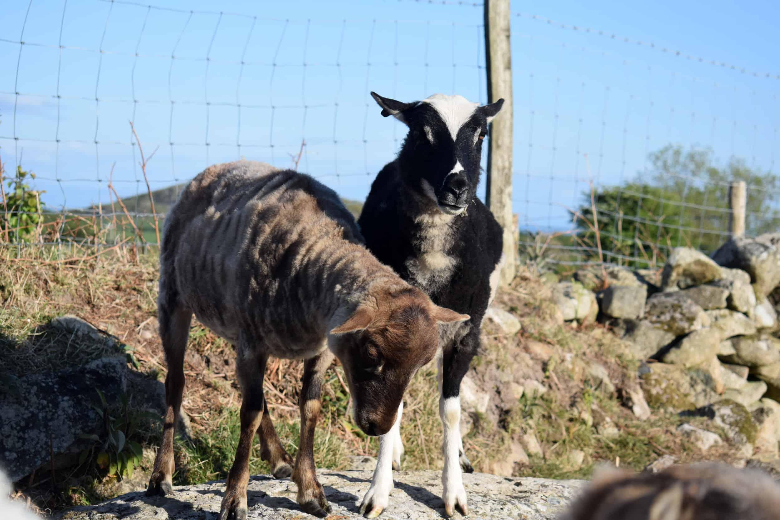 summer shearing